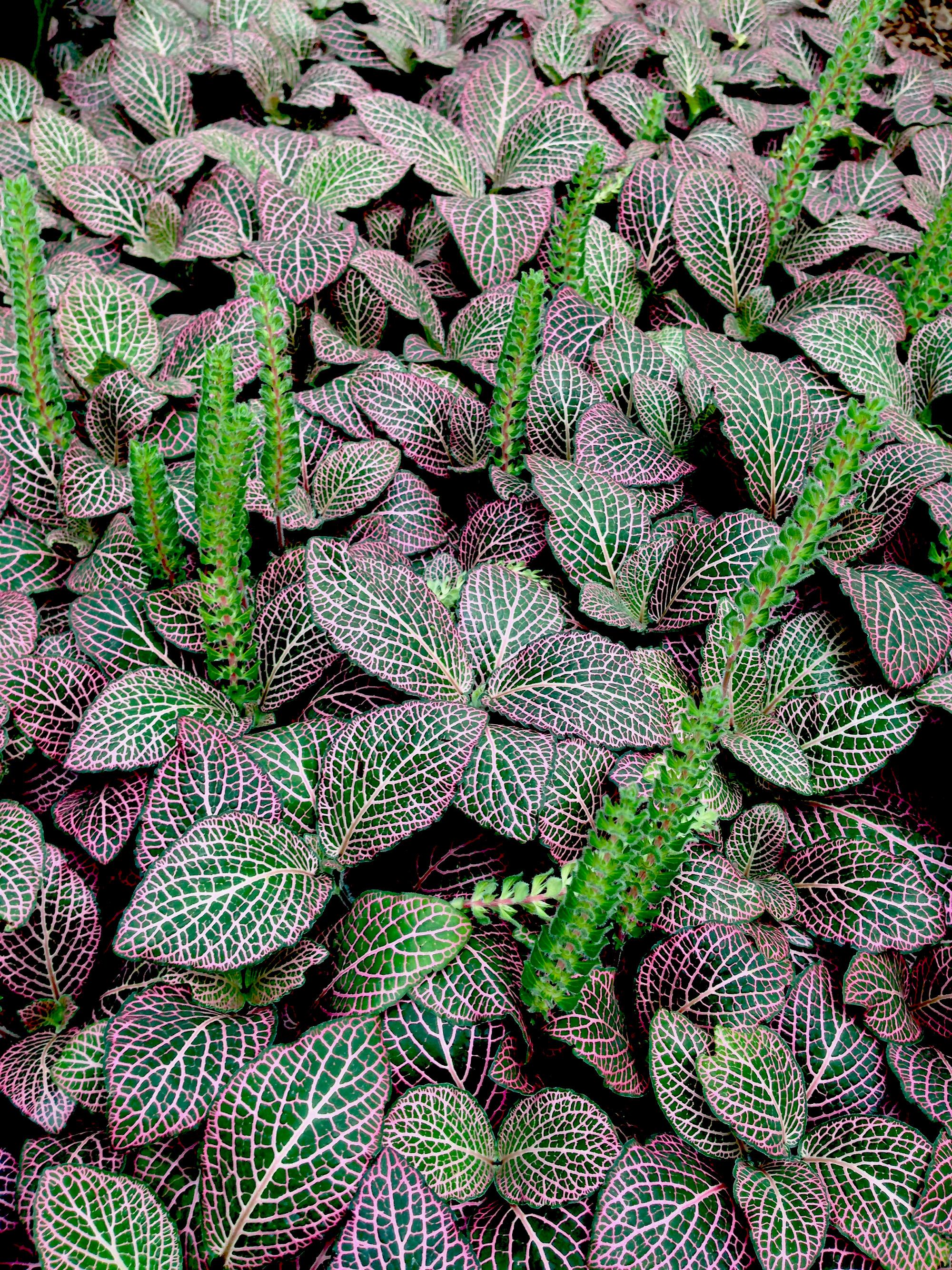 Mosaic Plant (Fittonia verschaffeltii pearcei), Garfield Park Conservatory, Chicago Illinois