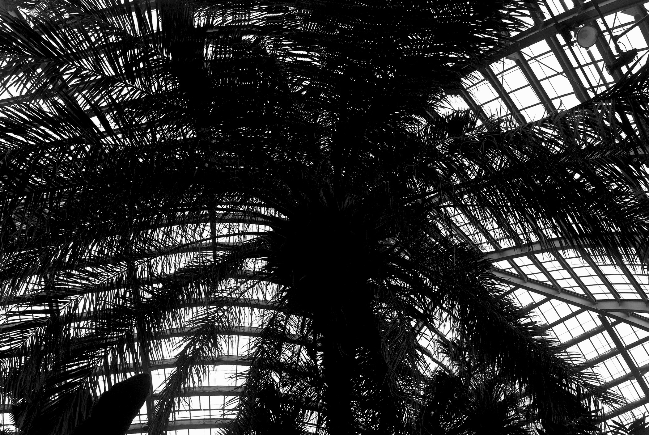 Scheelea Palm (oldest palm in the Conservatory collection, grown from a seed in 1926), Palm room, Garfield Park Conservatory, Chicago Illinois