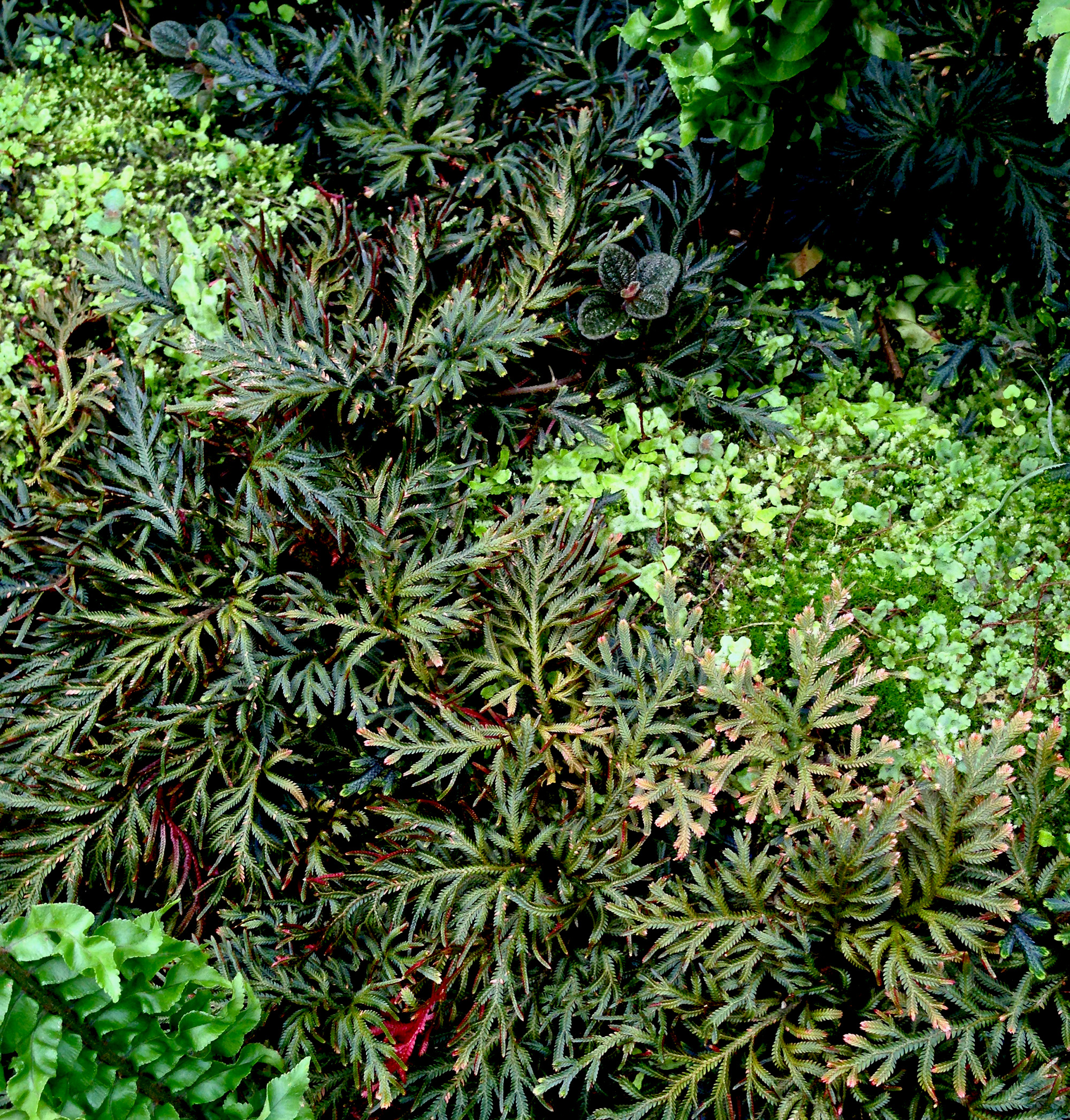 Spike moss (Selaginella erythropus 'Sanguinea'), Fern room, Garfield Park Conservatory, Chicago Illinois