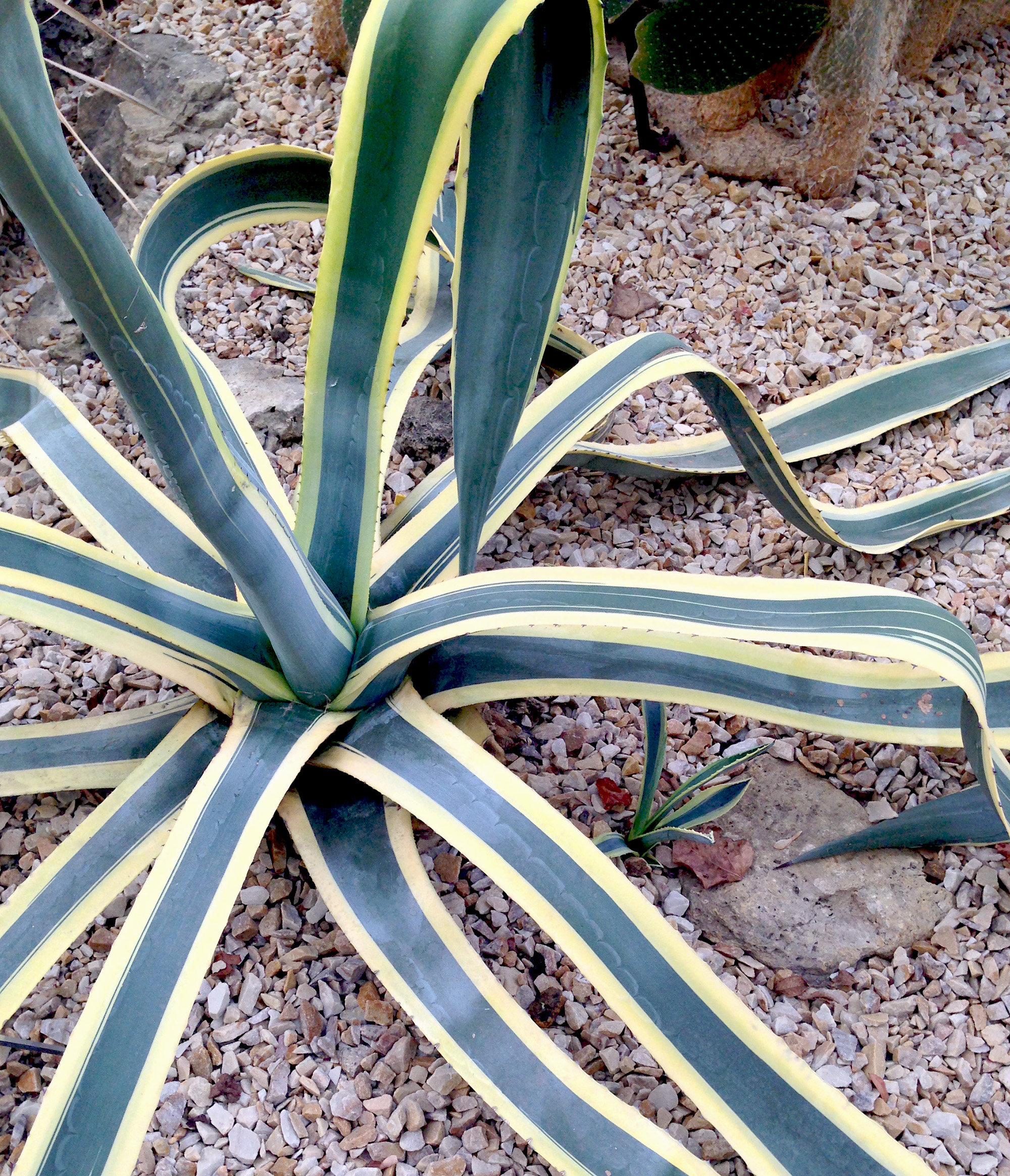 Variegated Century Plant (agave americana 'Marginata'), Desert Room, Garfield Park Conservatory, Chicago Illinois