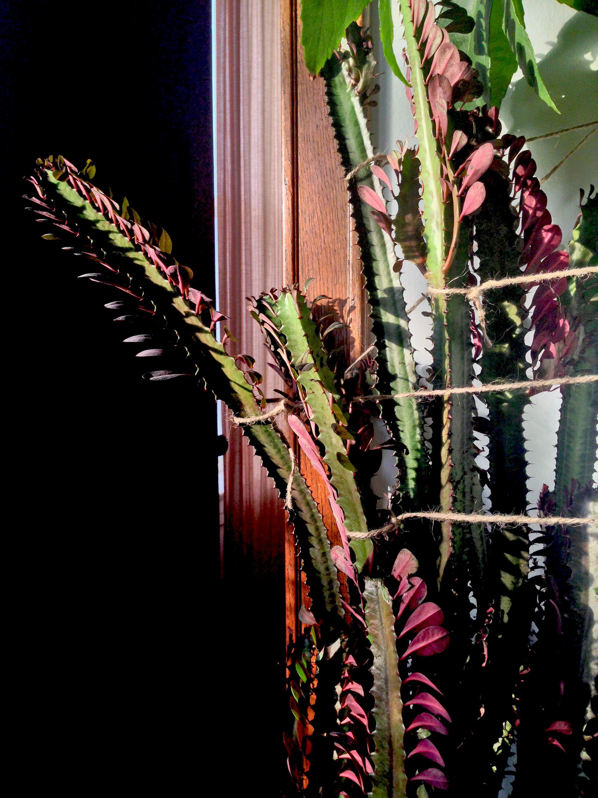 African Milk Tree (Euphorbia trigona) / Darker than Green