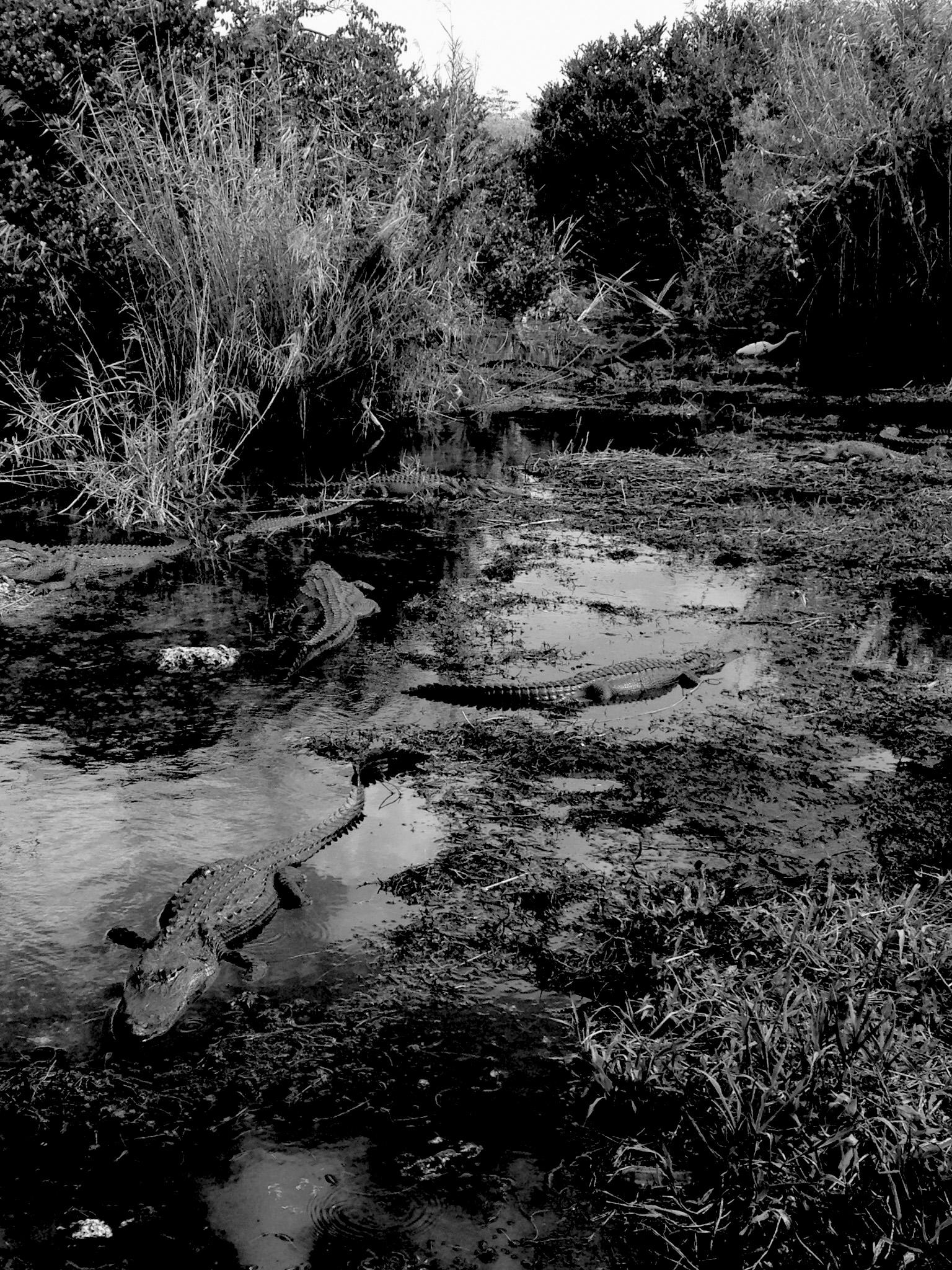 Alligators in Everglades National Park, Florida / Darker than Green