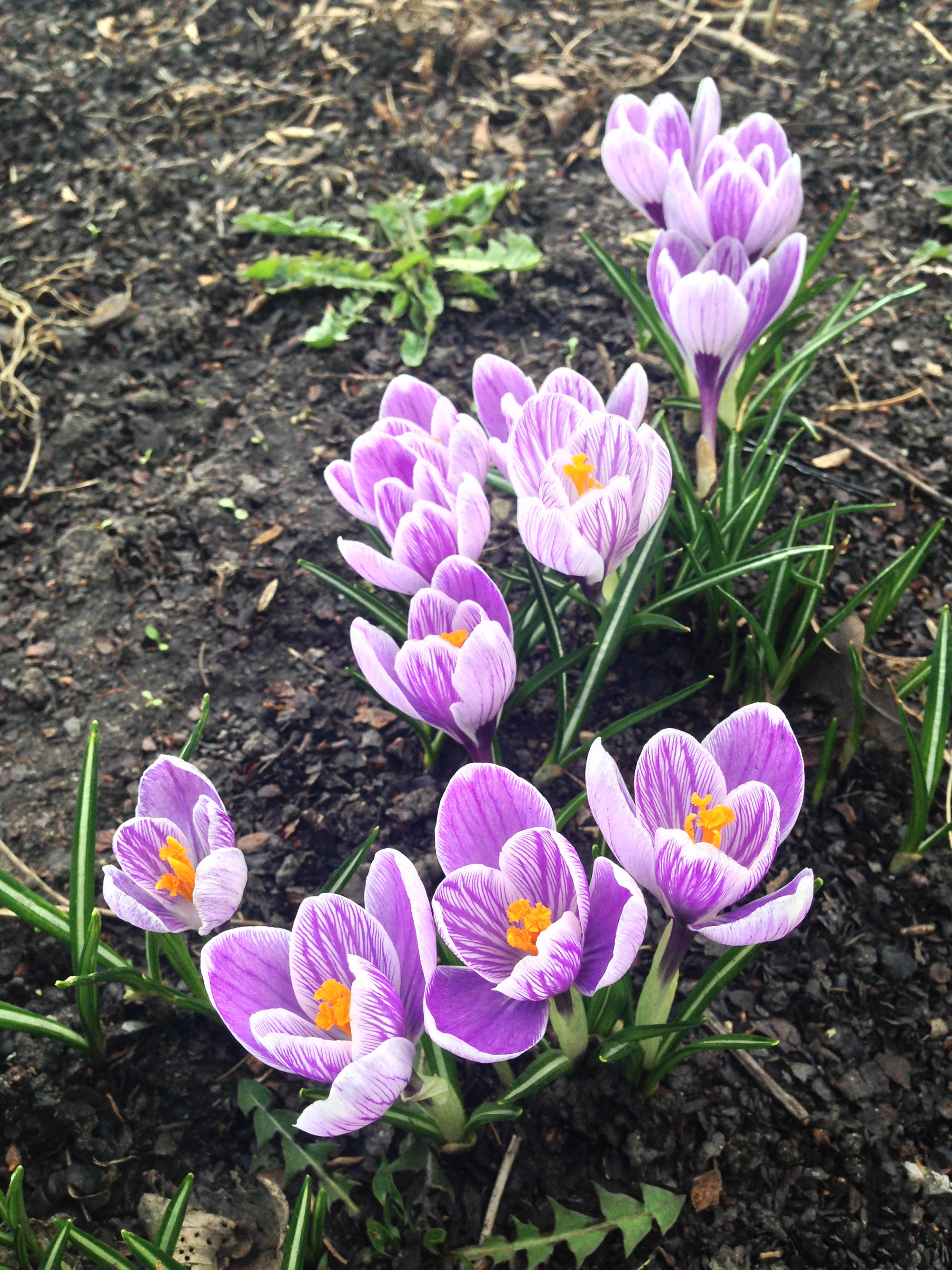 Crocuses in bloom / Darker than Green