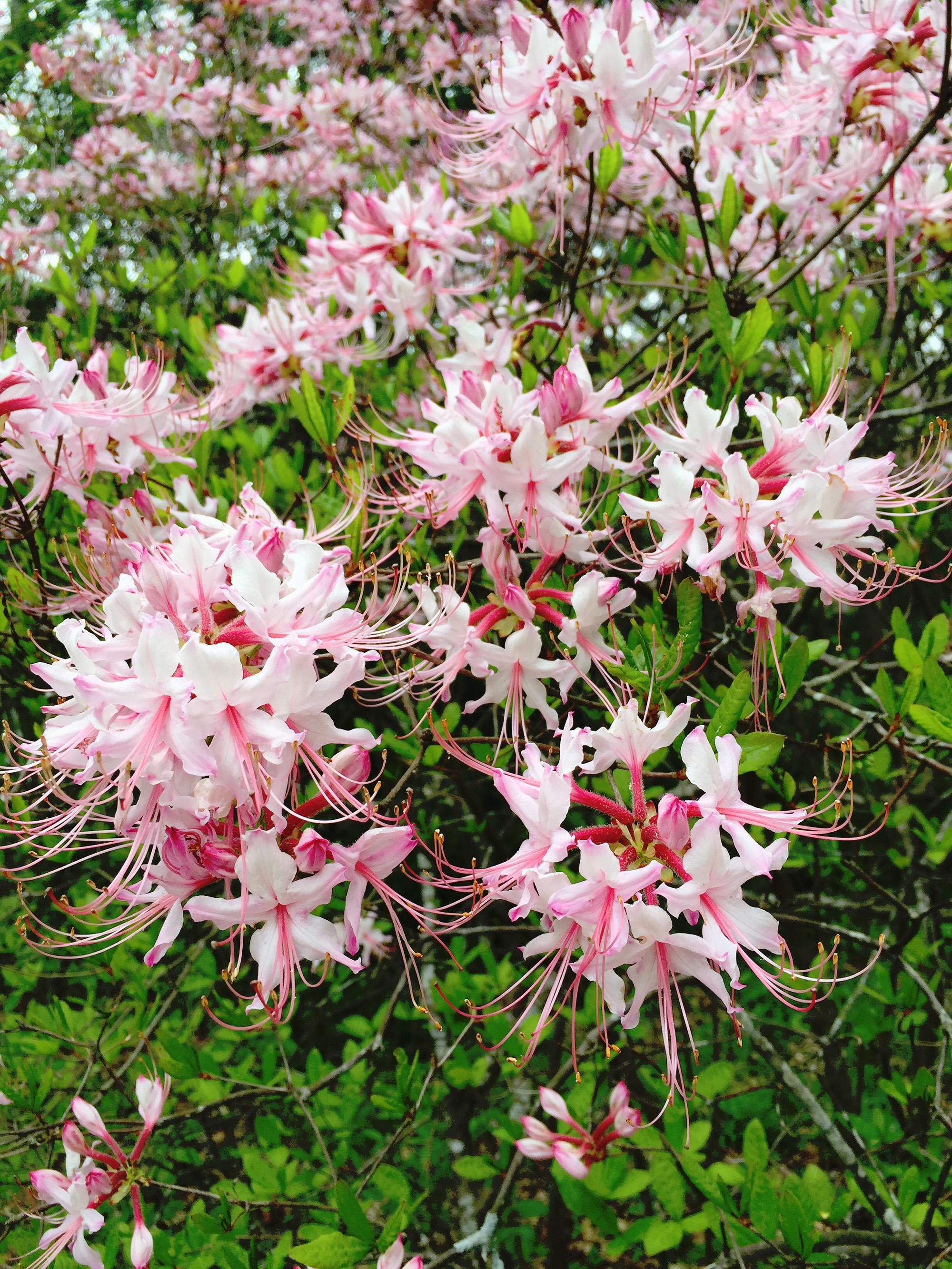 Azaleas at Asheville Botanical Gardens / Darker than Green