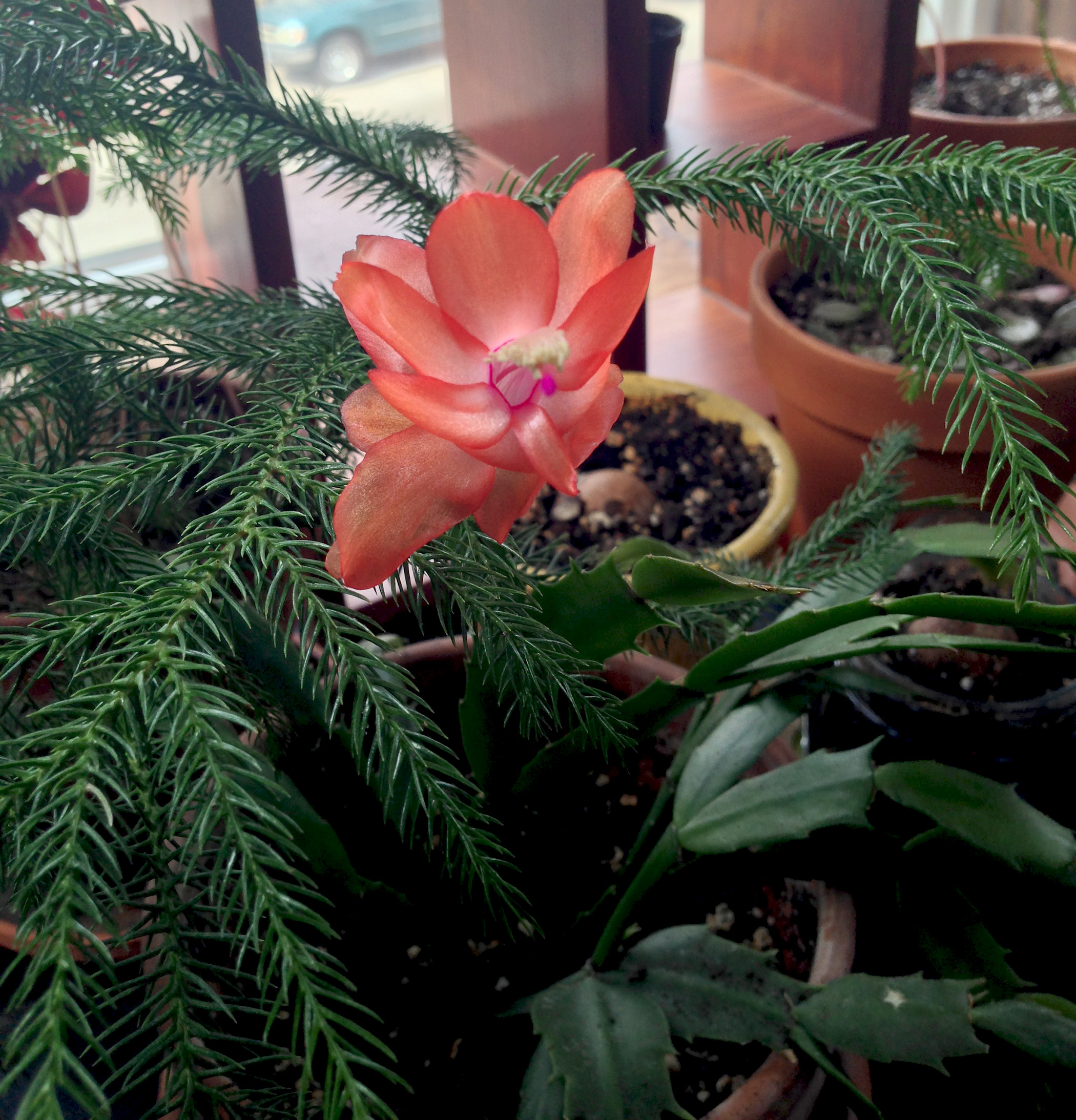 Christmas cactus in bloom / Darker than Green
