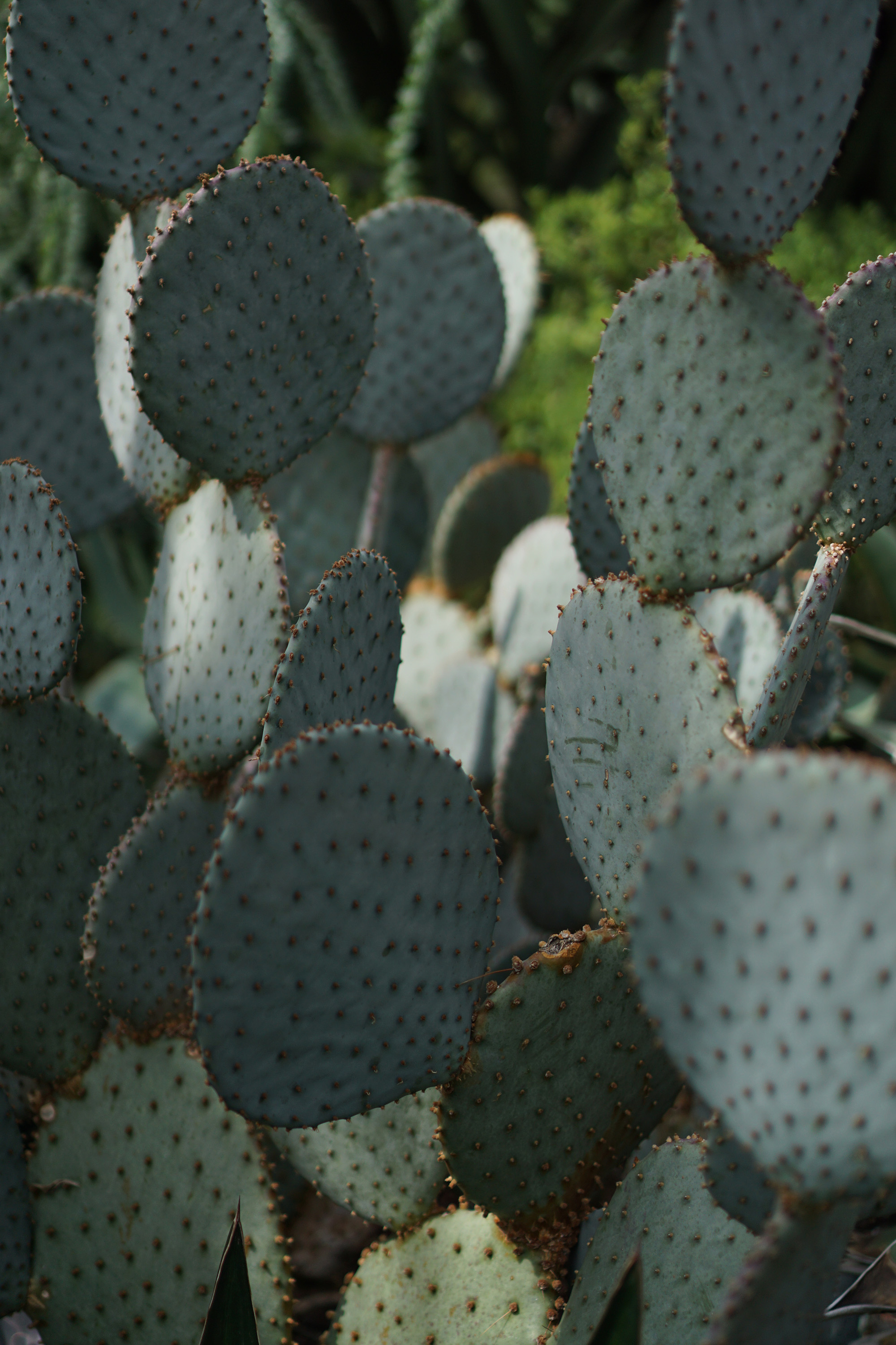 Cacti at the Chicago Botanic Garden / Darker than Green