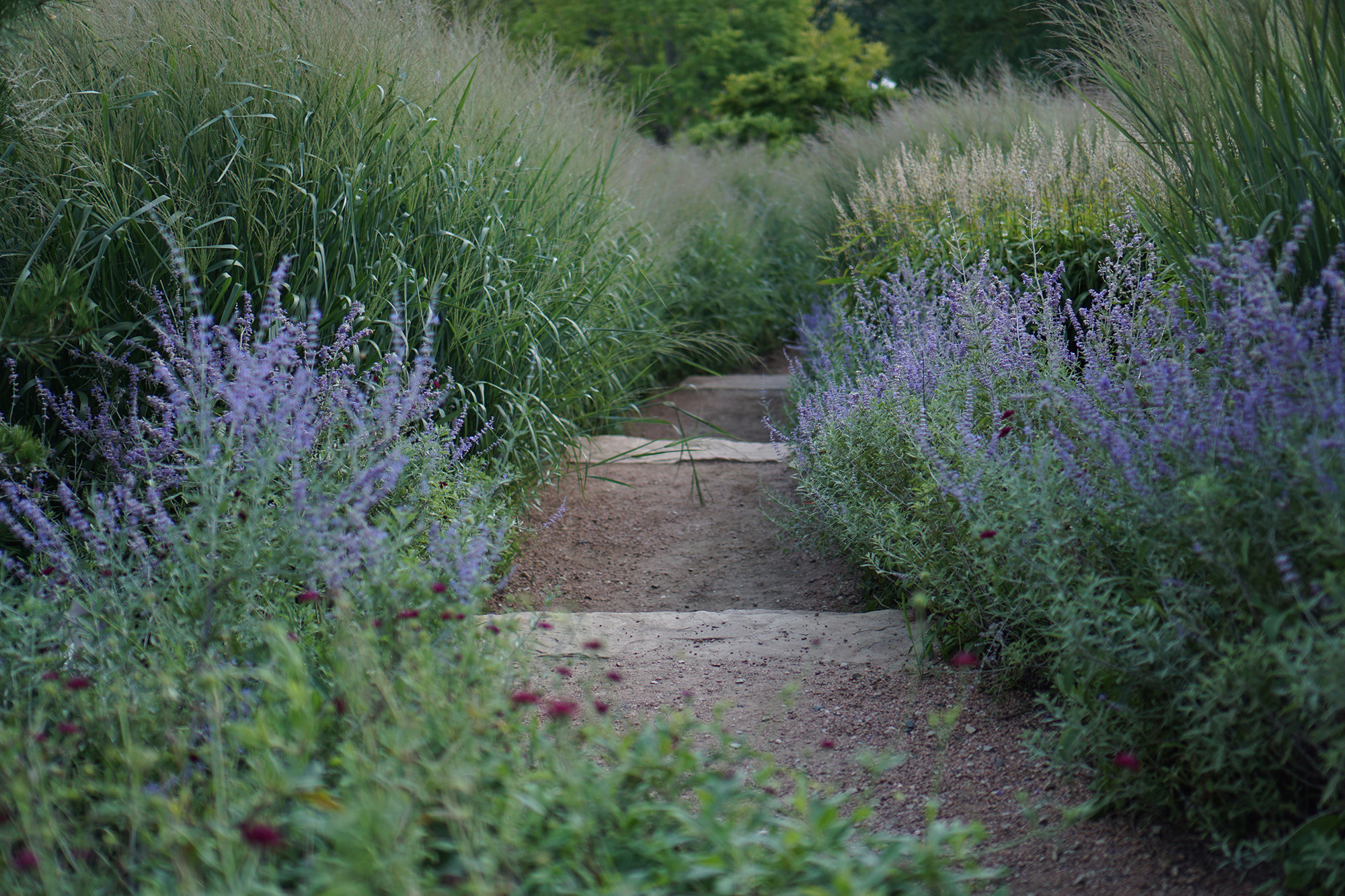 Russian sage at Council Ring, Chicago Botanic Garden / Darker than Green