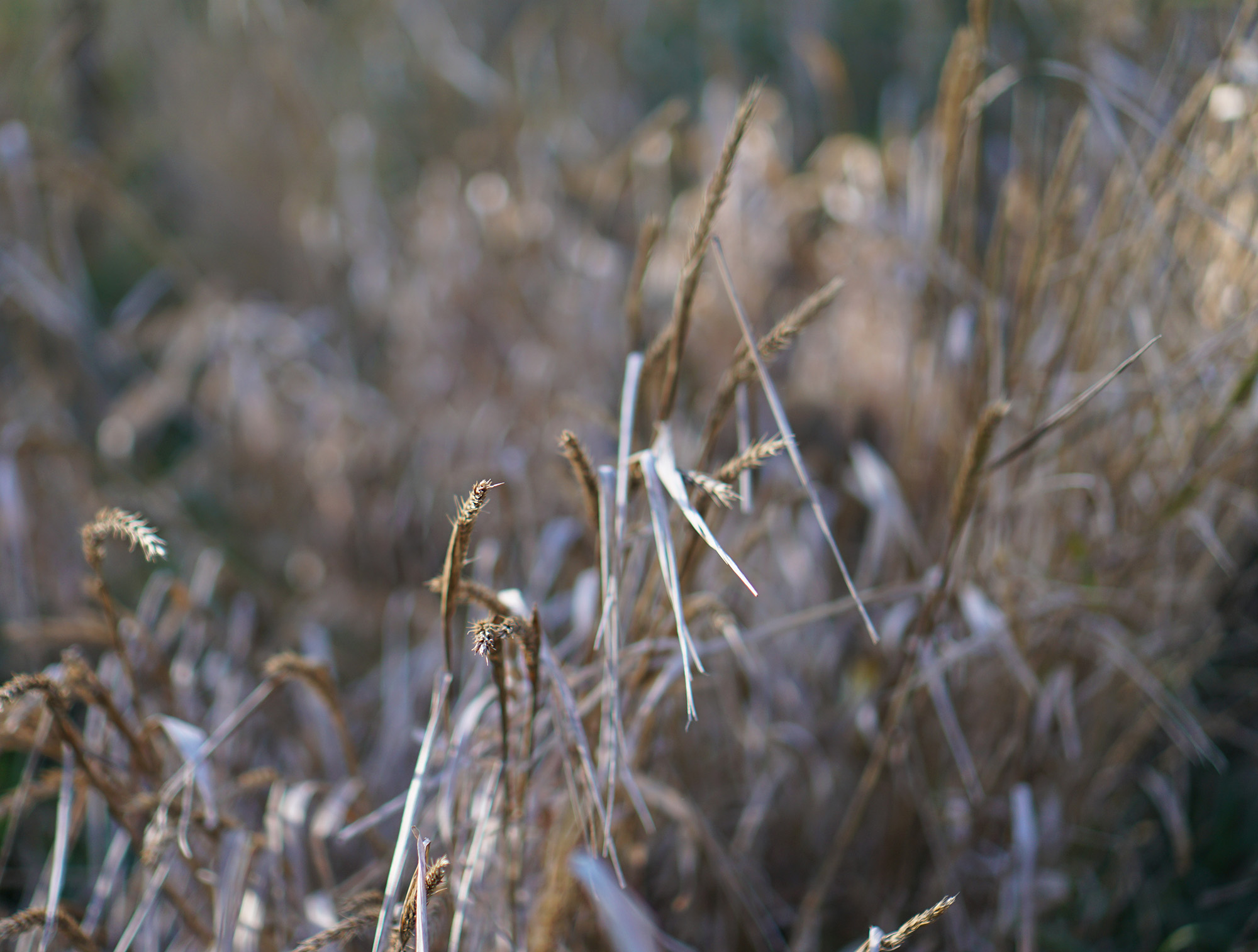 Fall grasses in Humboldt Park, Chicago / Darker than Green