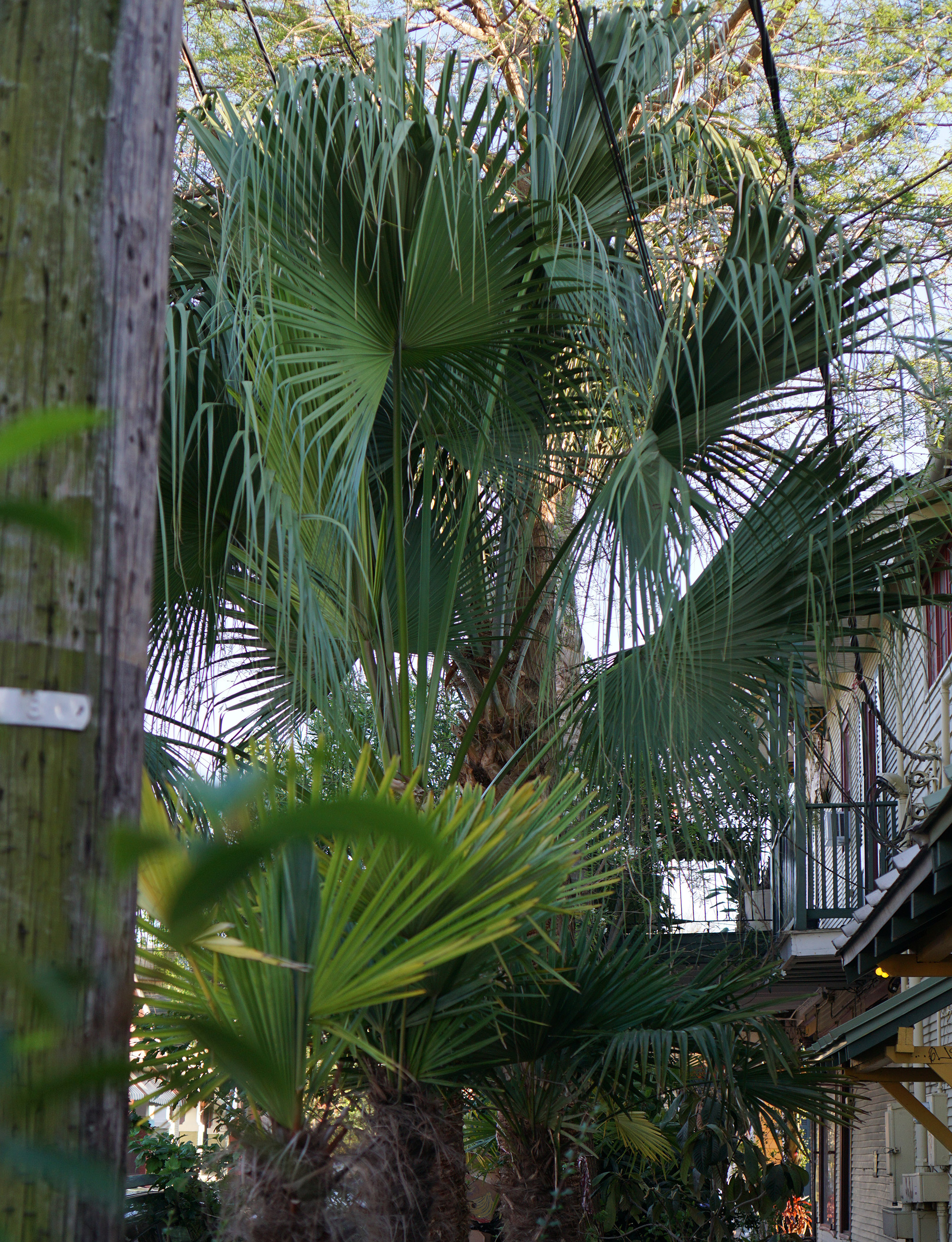 Palms in the Marigny, New Orleans / Darker than Green