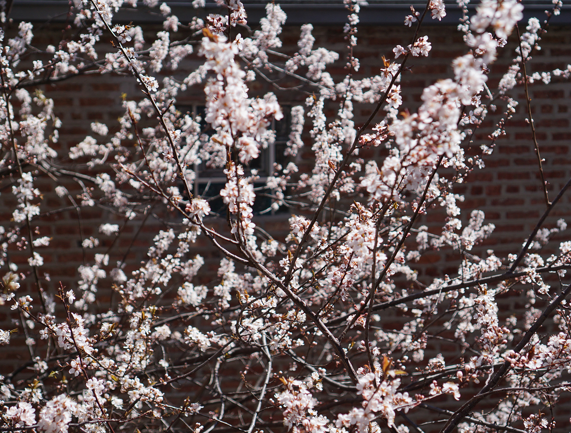 Purpleleaf Plum tree (Prunus cerasifera) in full flower, Chicago IL / Darker than Green