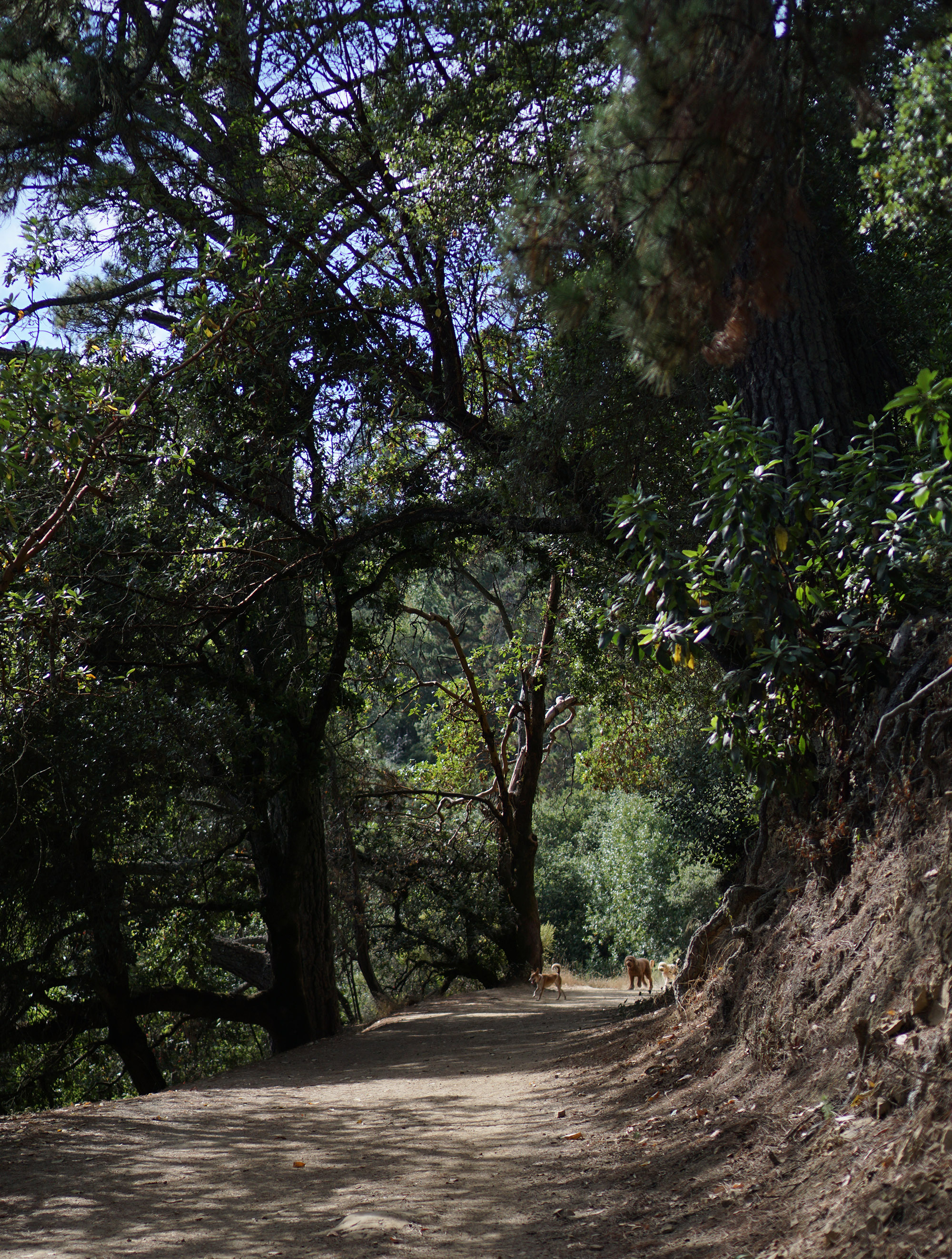 Dogs on the trail in Redwood Regional Park, Oakland California / Darker than Green