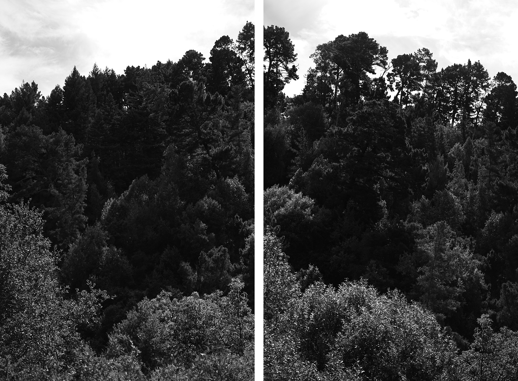 Treetops in Redwood Regional Park, Oakland California / Darker than Green