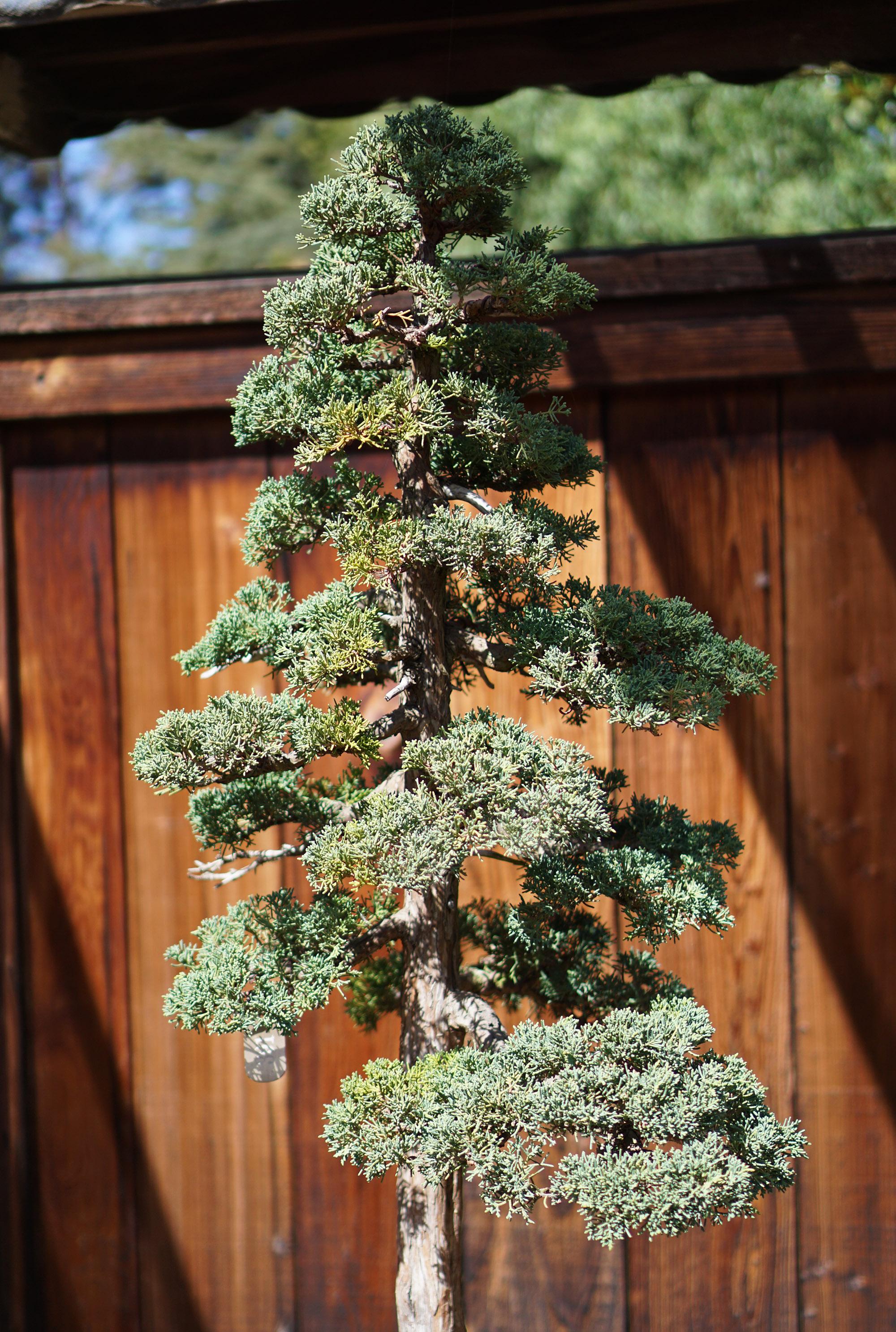 Bonsai tree at Lake Merritt, Oakland California / Darker than Green
