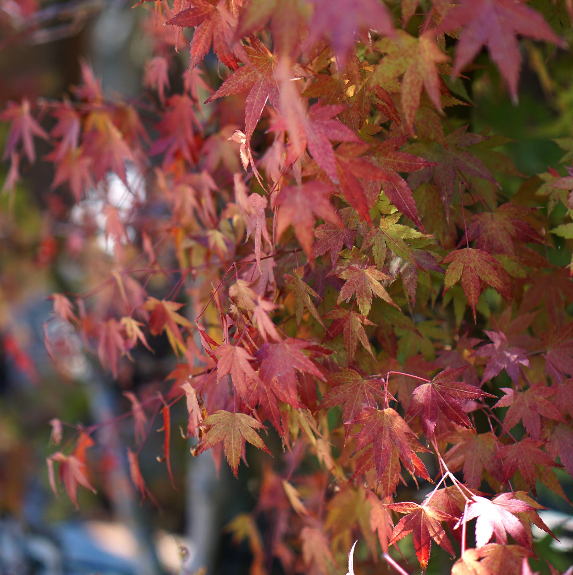 Fall leaves in bonsai garden at Lake Merritt, Oakland California / Darker than Green