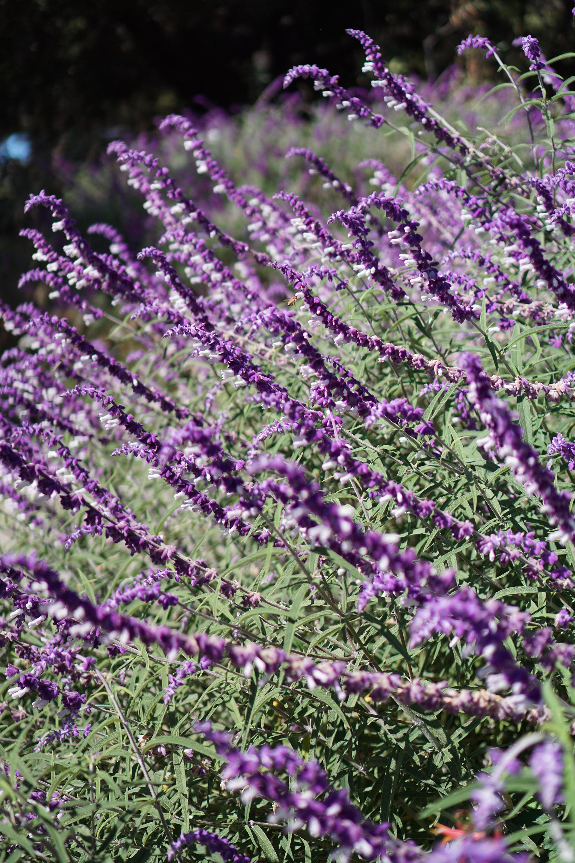 Flowering salvia in the Gardens at Lake Merritt, Oakland California / Darker than Green