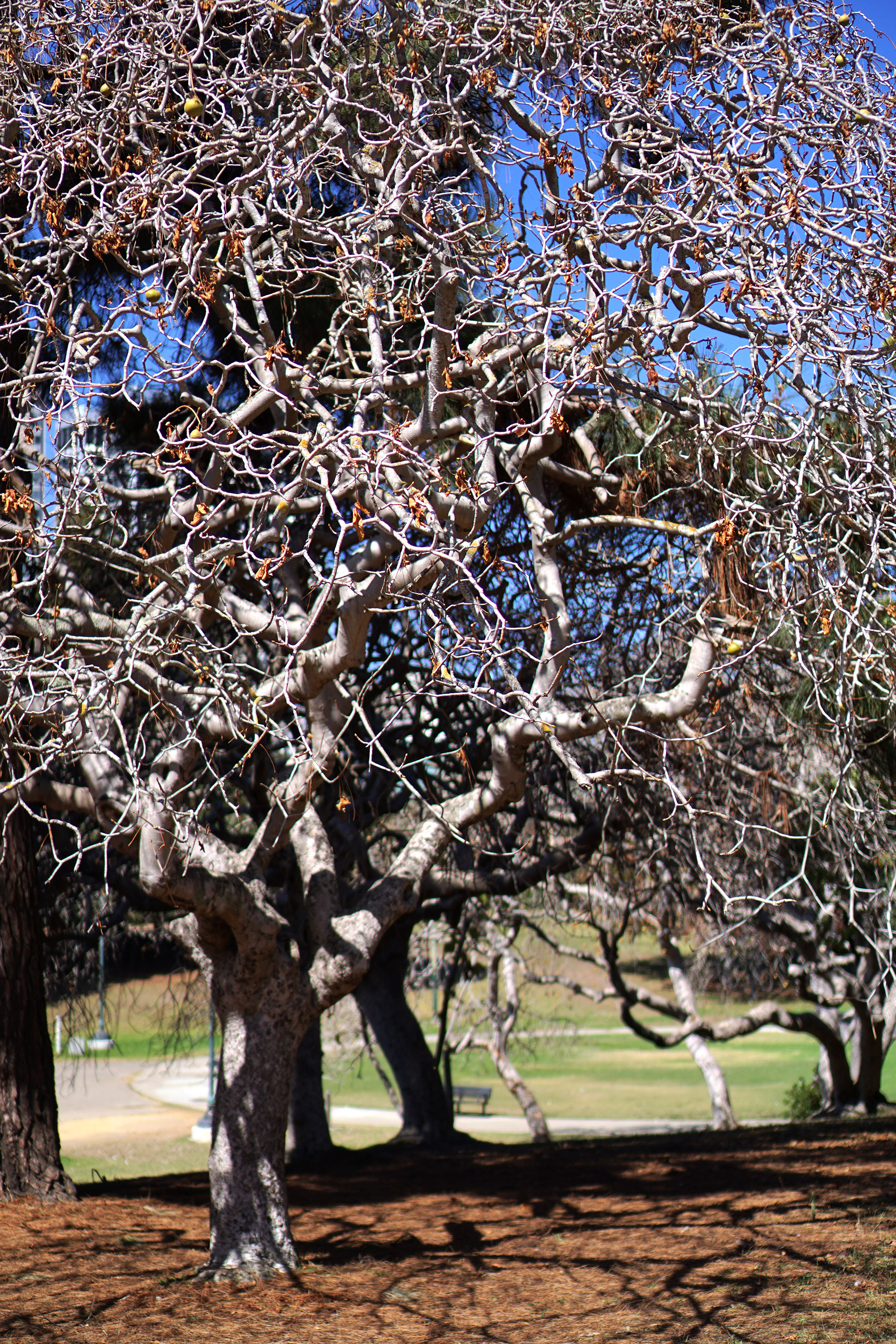 Skeleton tree in the Gardens at Lake Merritt, Oakland California / Darker than Green