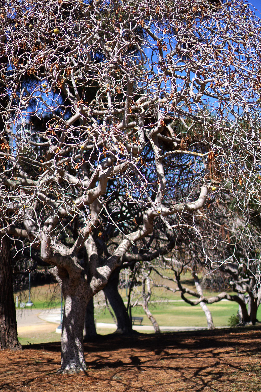 Skeleton tree in the Gardens at Lake Merritt, Oakland California / Darker than Green