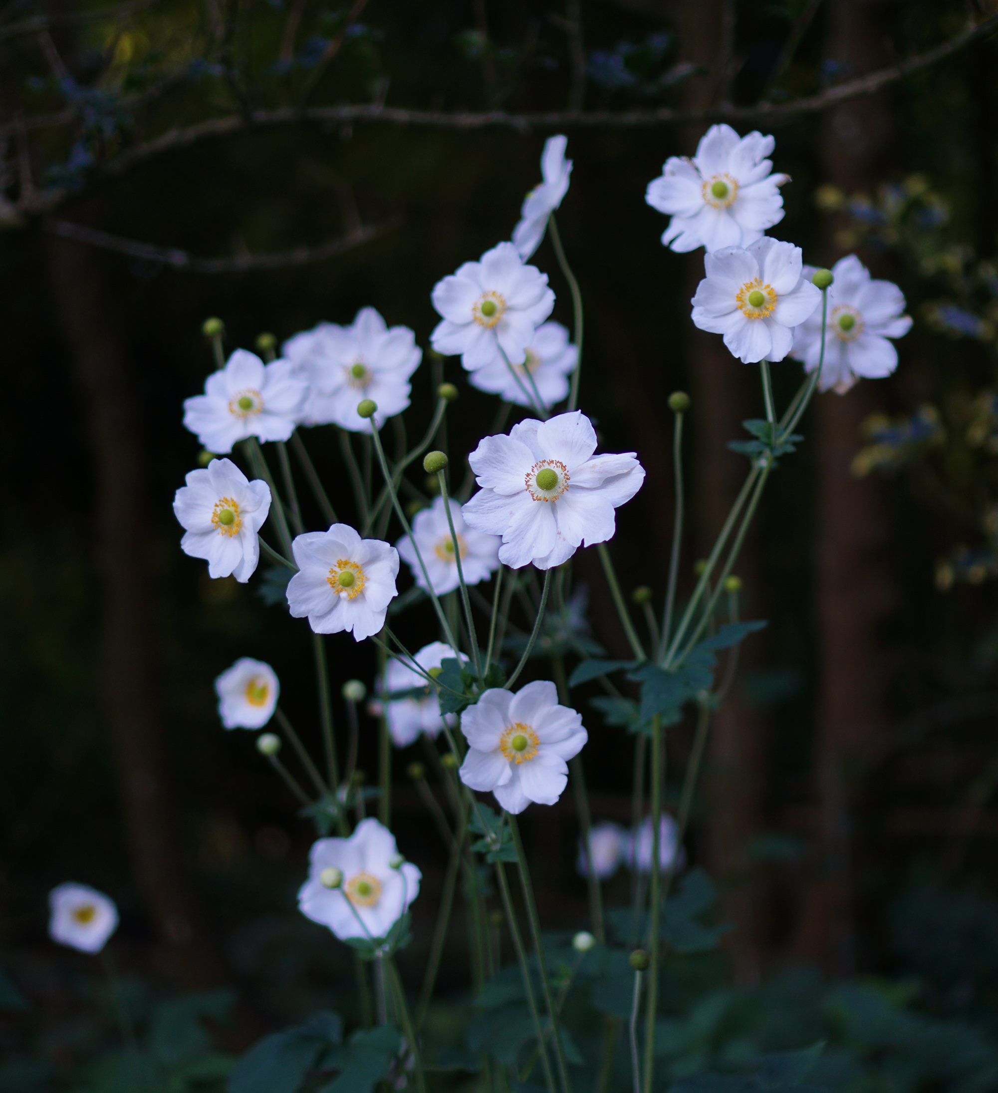 Japanese anemones, San Francisco Botanical Garden / Darker than Green