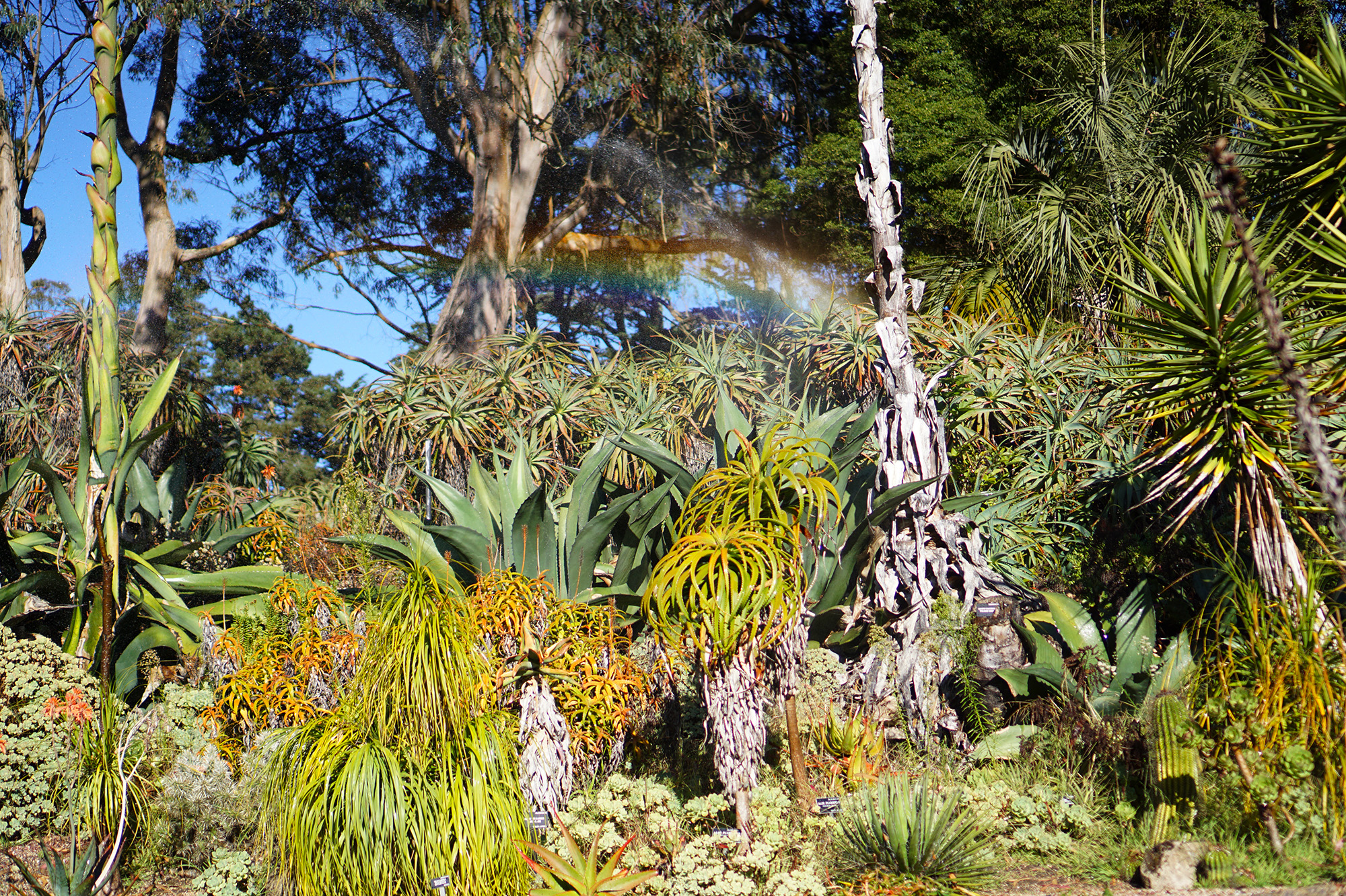 Rainbow in the sprinklers in the desert area of the San Francisco Botanical Garden / Darker than Green