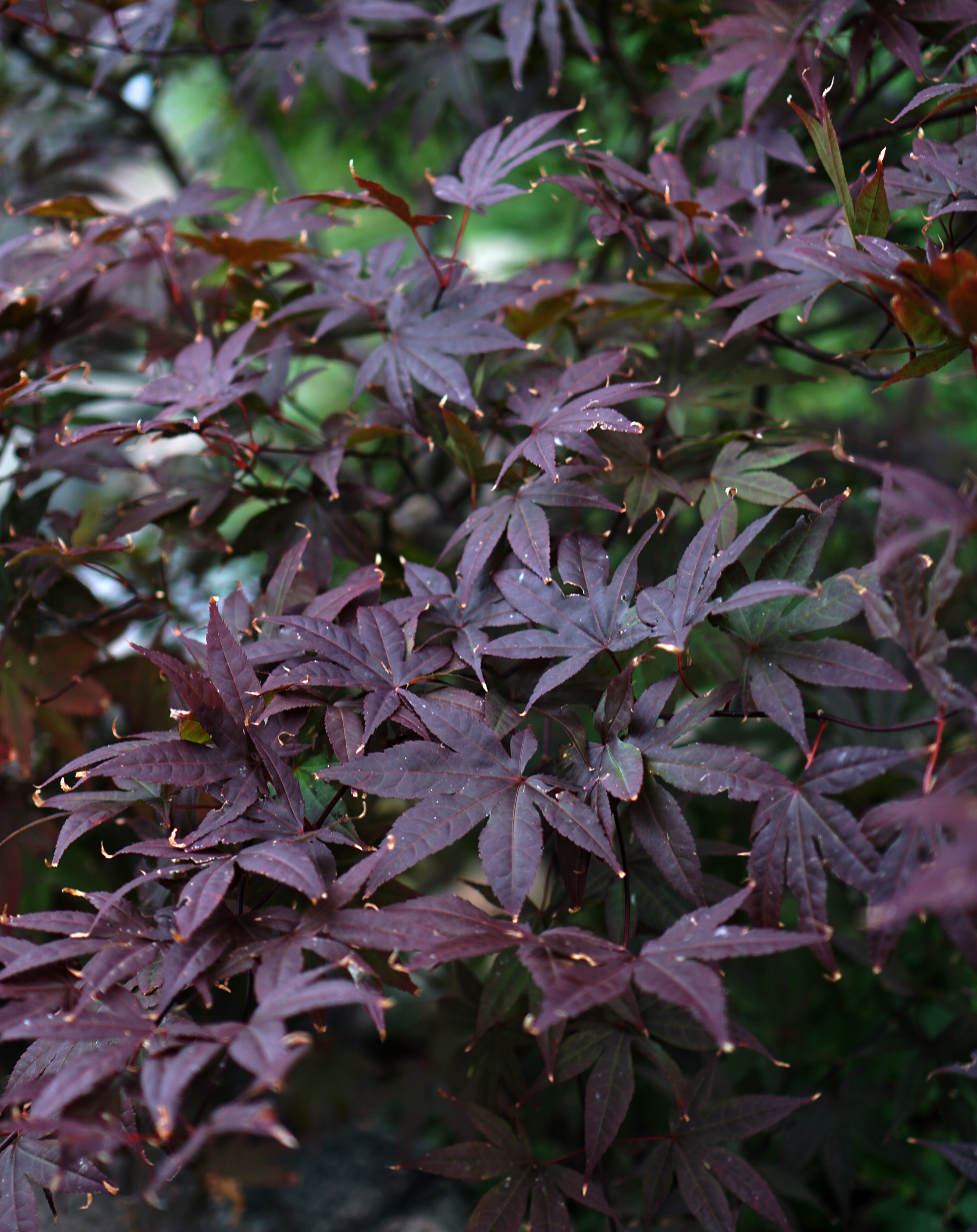 Purple Japanese Maple in the Garden of the Phoenix, Jackson Park / Darker than Green