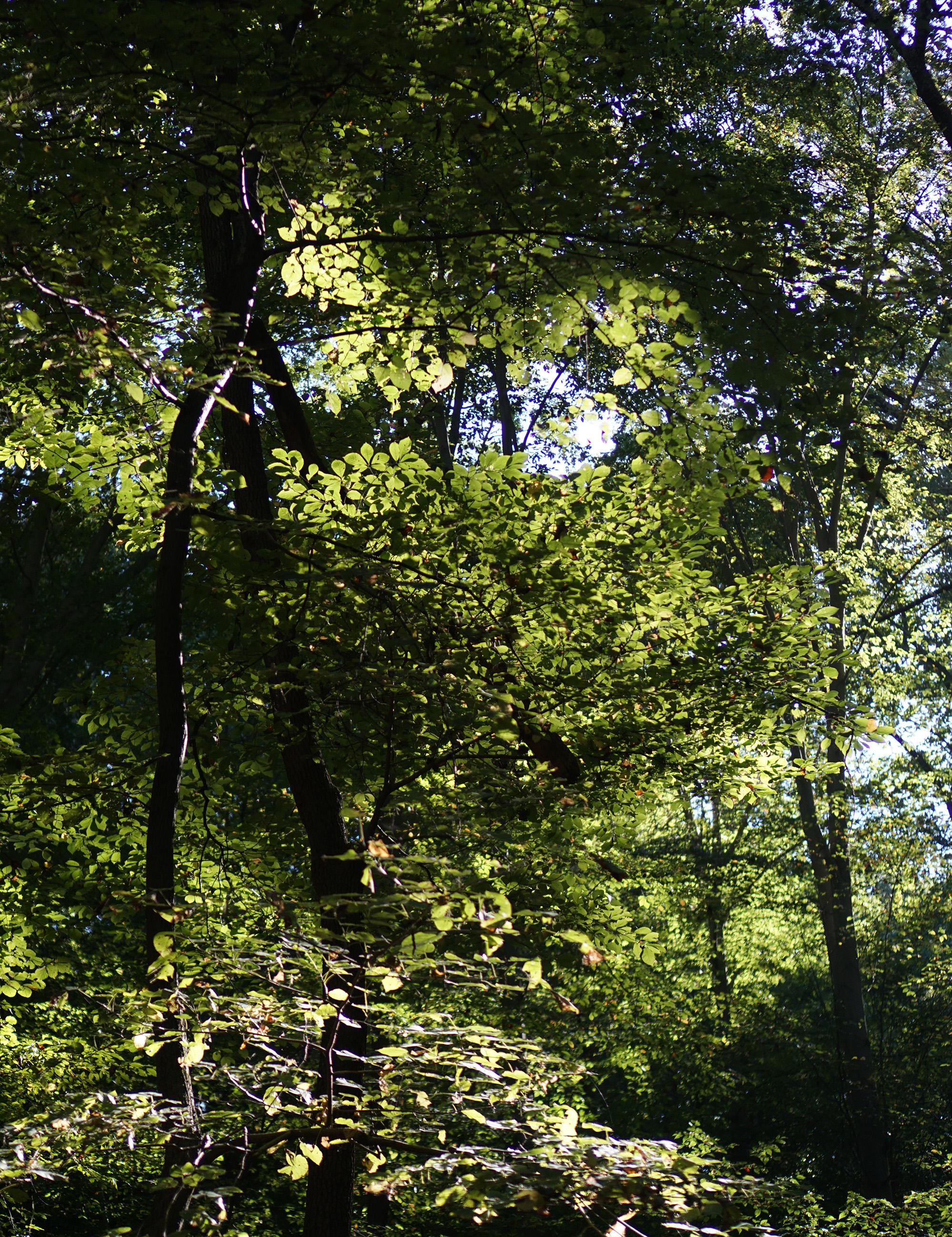 Sunlight through the branches, Patapsco Valley State Park, Maryland / Darker than Green