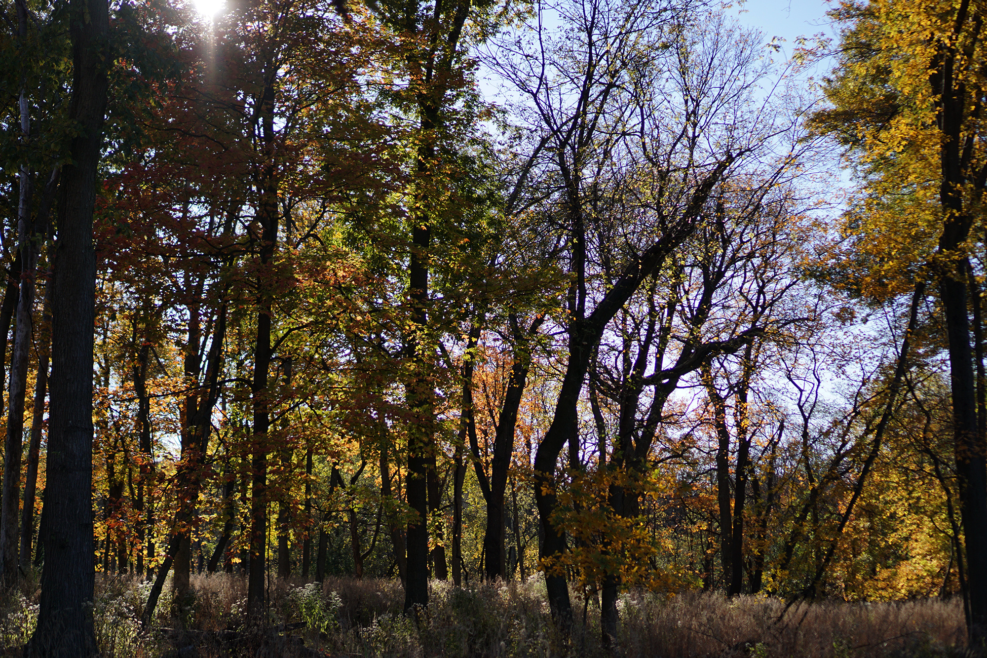 Autumn trees in Miami Woods, Morton Grove Illinois / Darker than Green