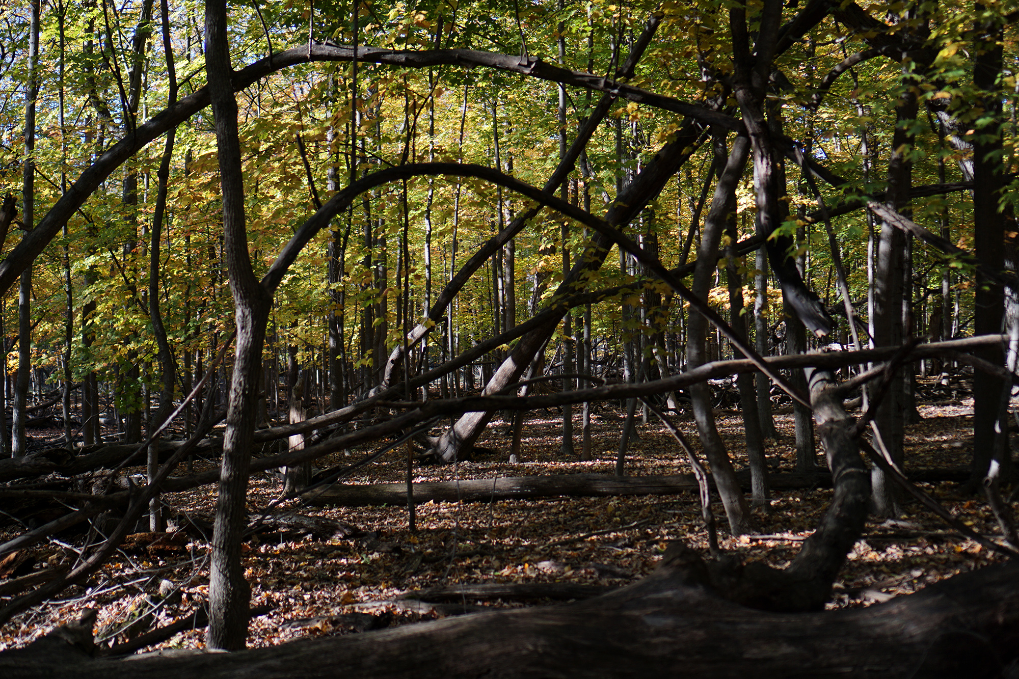 Bent and broken trees in Miami Woods, Morton Grove Illinois / Darker than Green