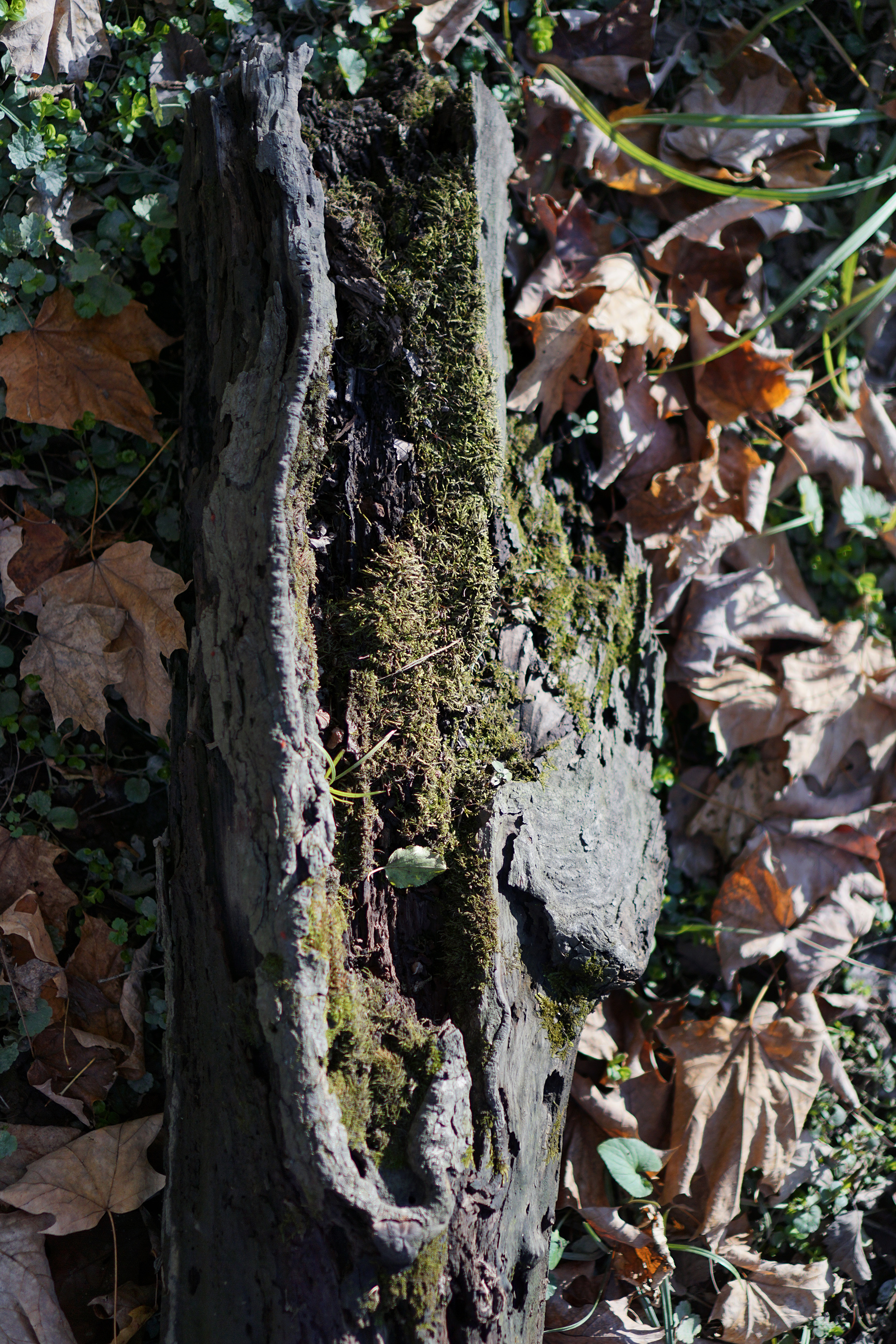 Mossy log, Miami Woods, Morton Grove Illinois / Darker than Green