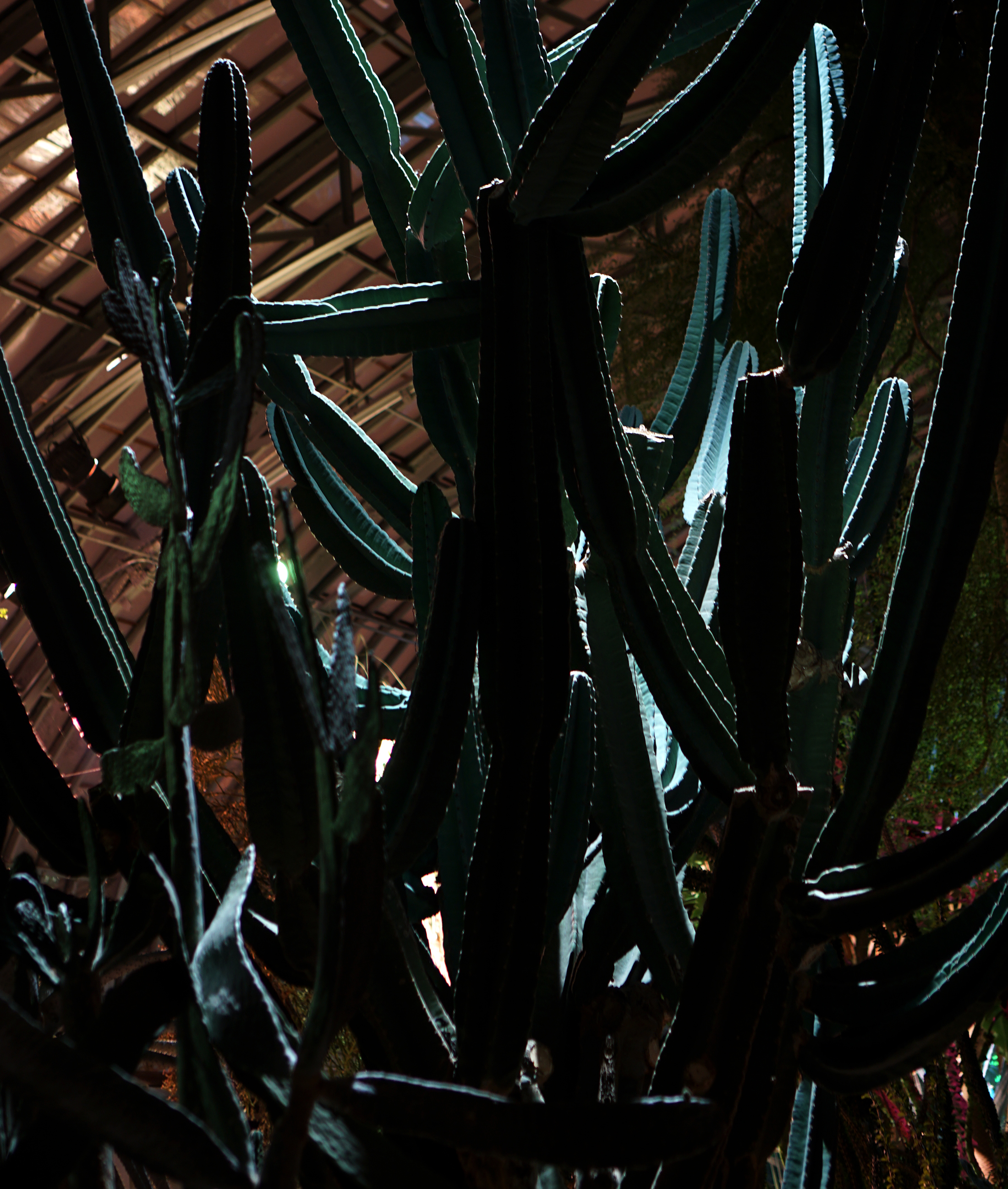 Cactus in the Garfield Park Conservatory at night, Chicago / Darker than Green