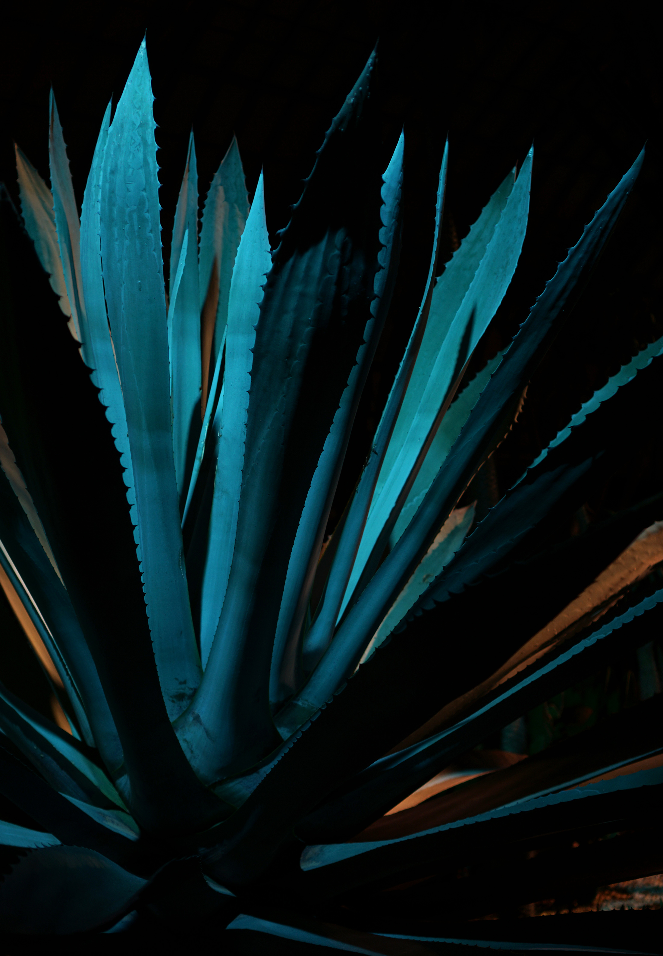 Giant agave, Garfield Park Conservatory at night, Chicago / Darker than Green