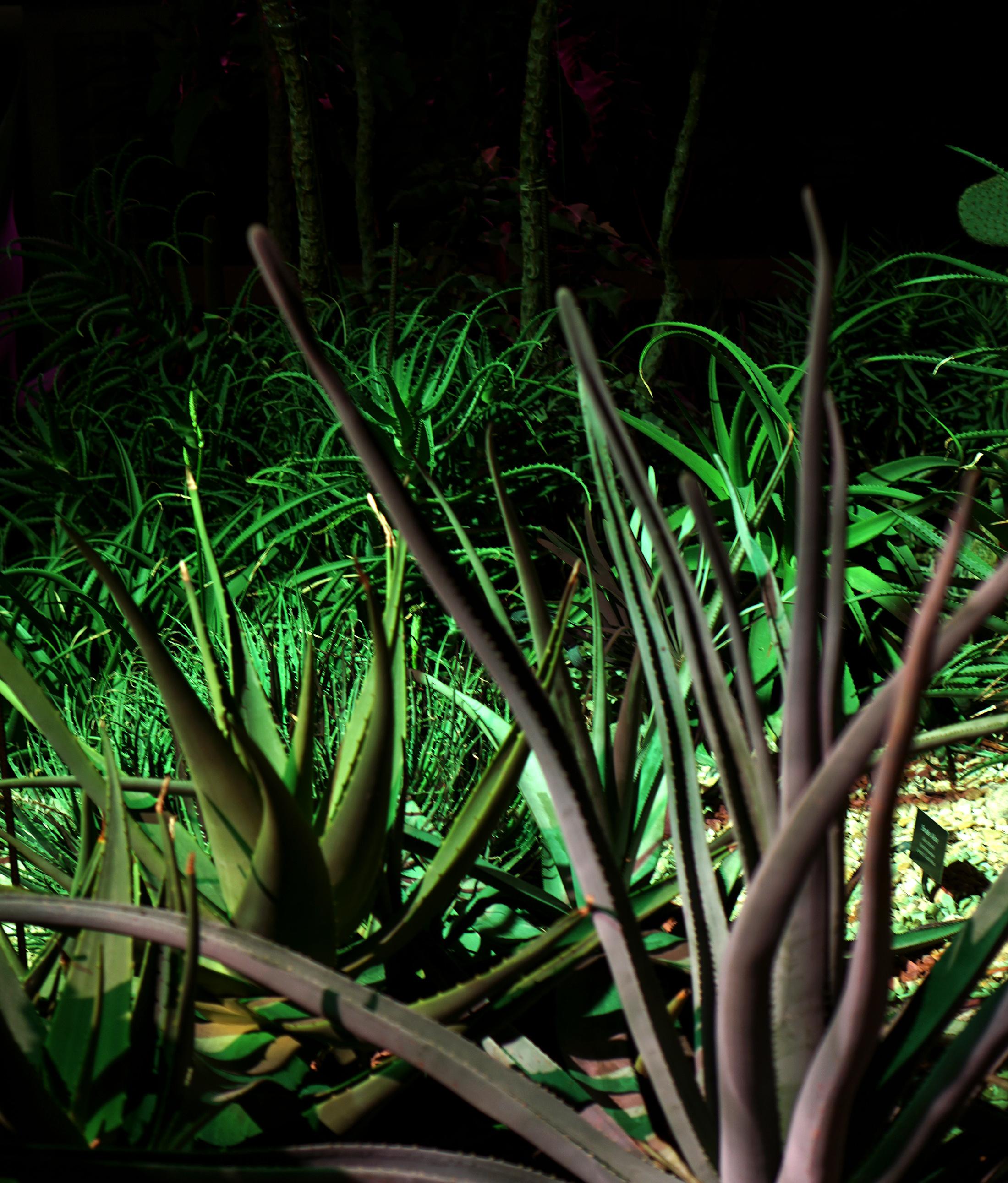 Wild desert plants in the Garfield Park Conservatory at night, Chicago / Darker than Green