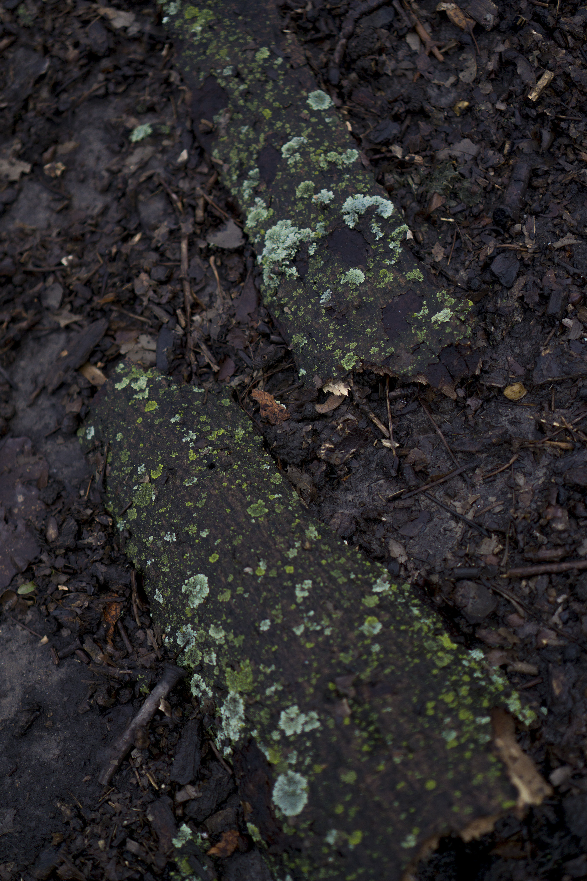 Moss growing on bark in Gompers Park, Chicago IL / Darker than Green
