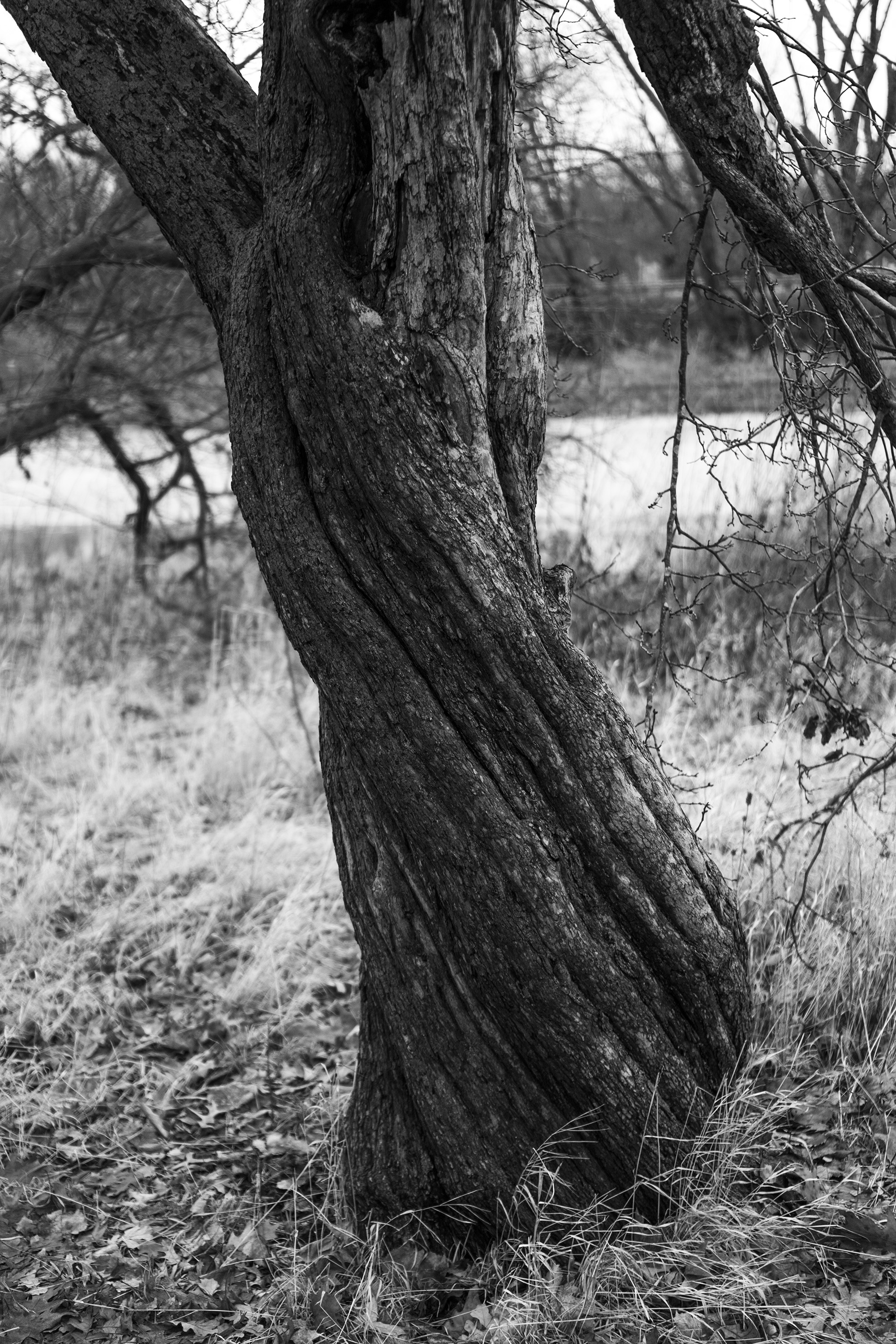 Twisted tree trunk in Gompers Park, Chicago IL / Darker than Green