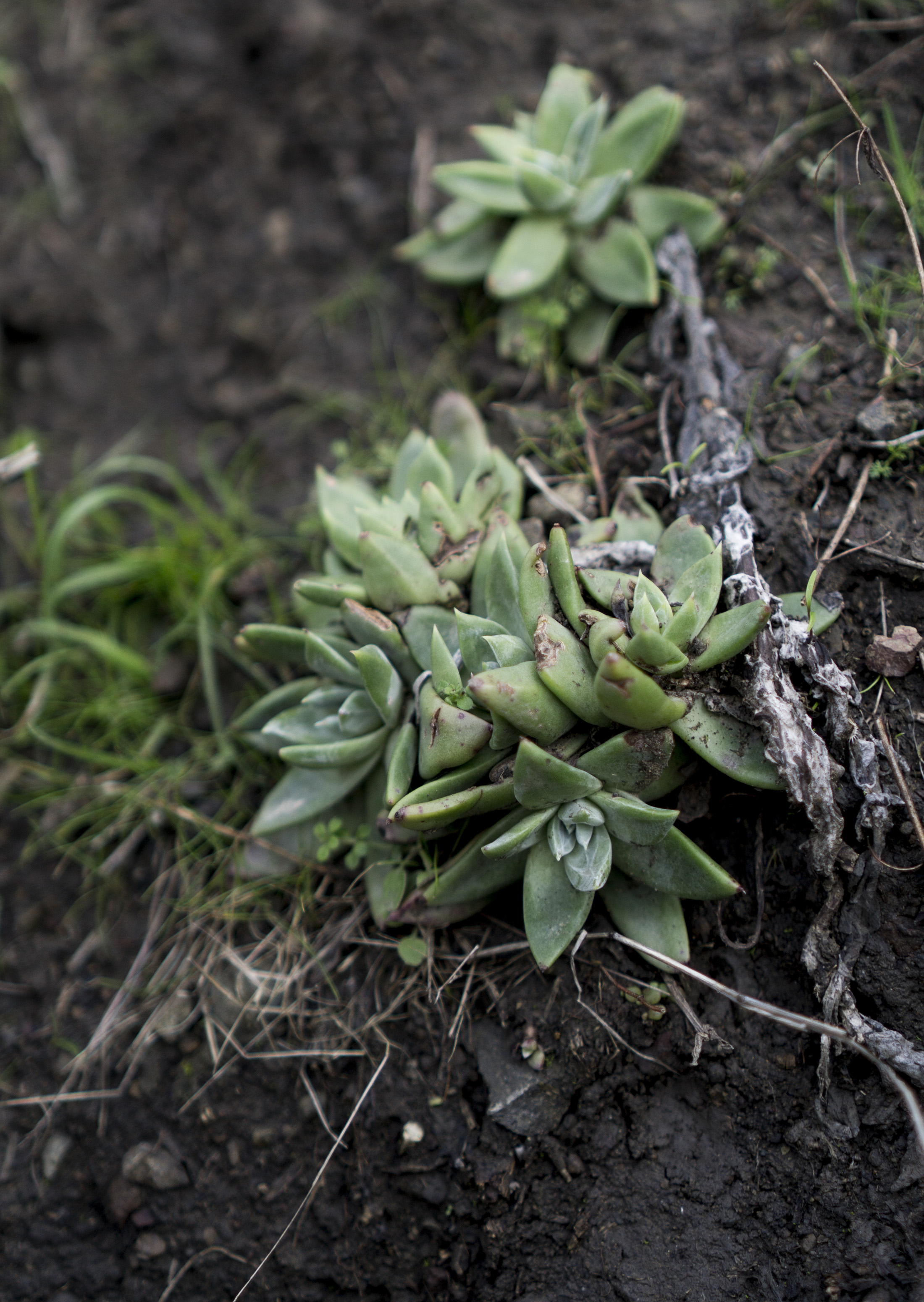 Dudleya succulents at Pirates Cove, Marin Headlands, Golden Gate National Recreation Area / Darker than Green