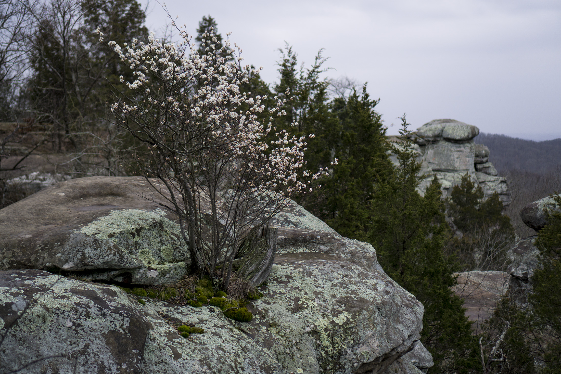 Flowering tree in spring with Garden of the Gods in background, Shawnee National Forest, IL / Darker than Green