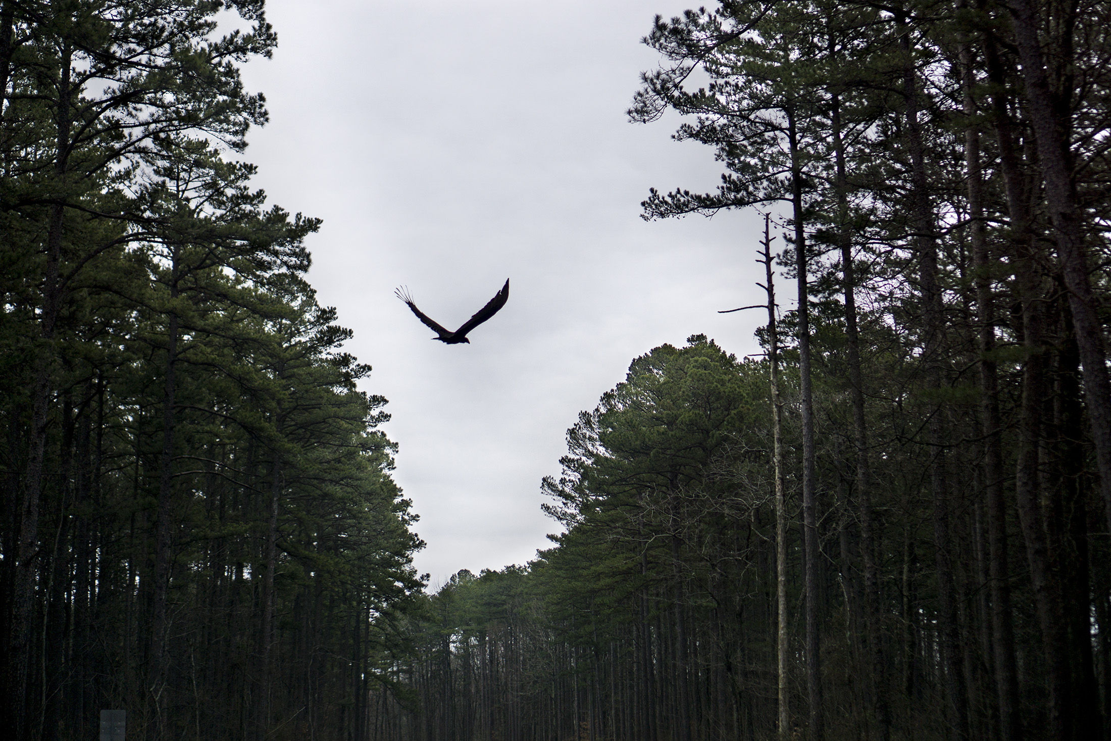 Large bird of prey flying through canyon of pines on Garden of the Gods Rd, Shawnee National Forest / Darker than Green