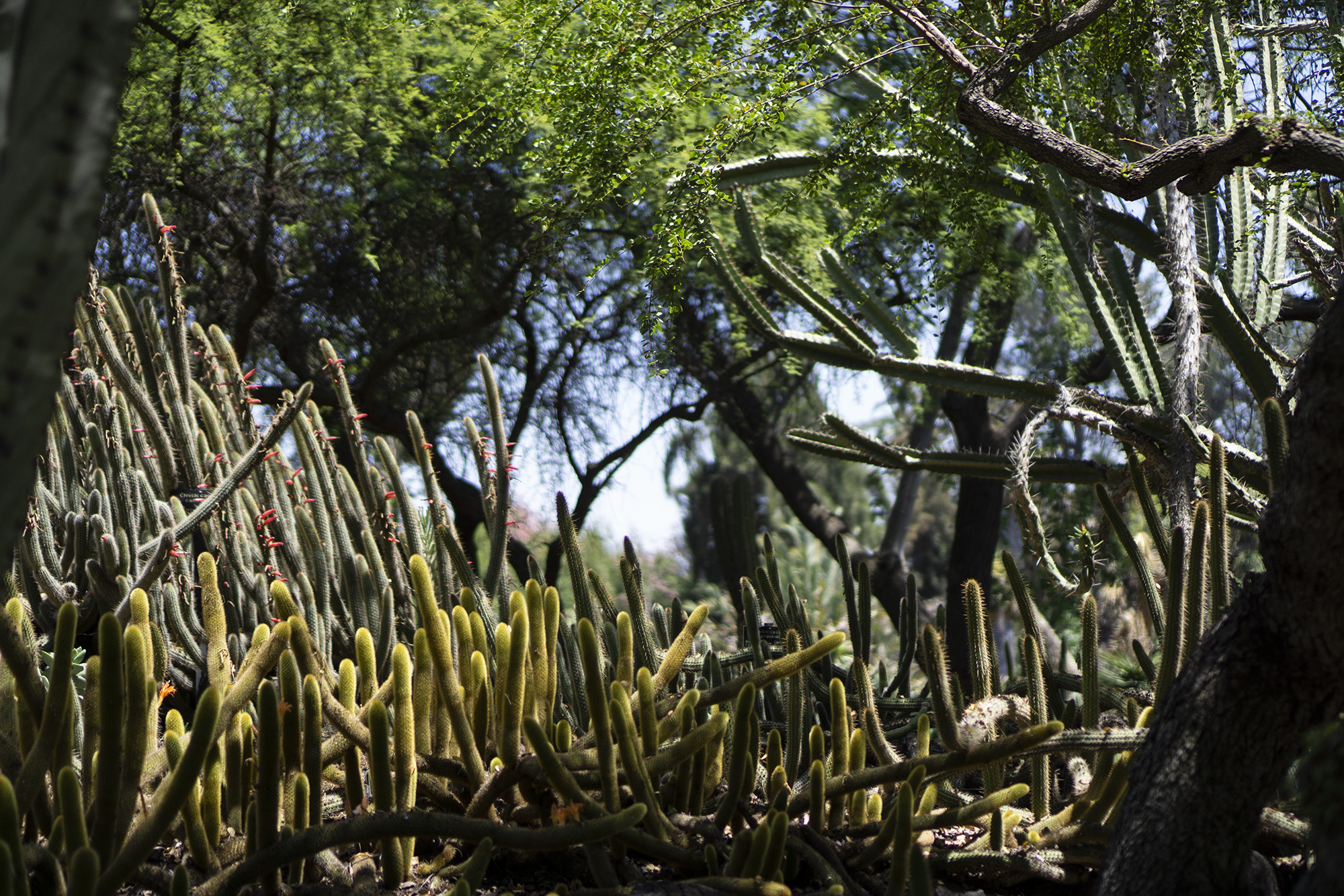 Cactus patch in the shade, Desert Garden, Huntington Library, San Marino CA / Darker than Green
