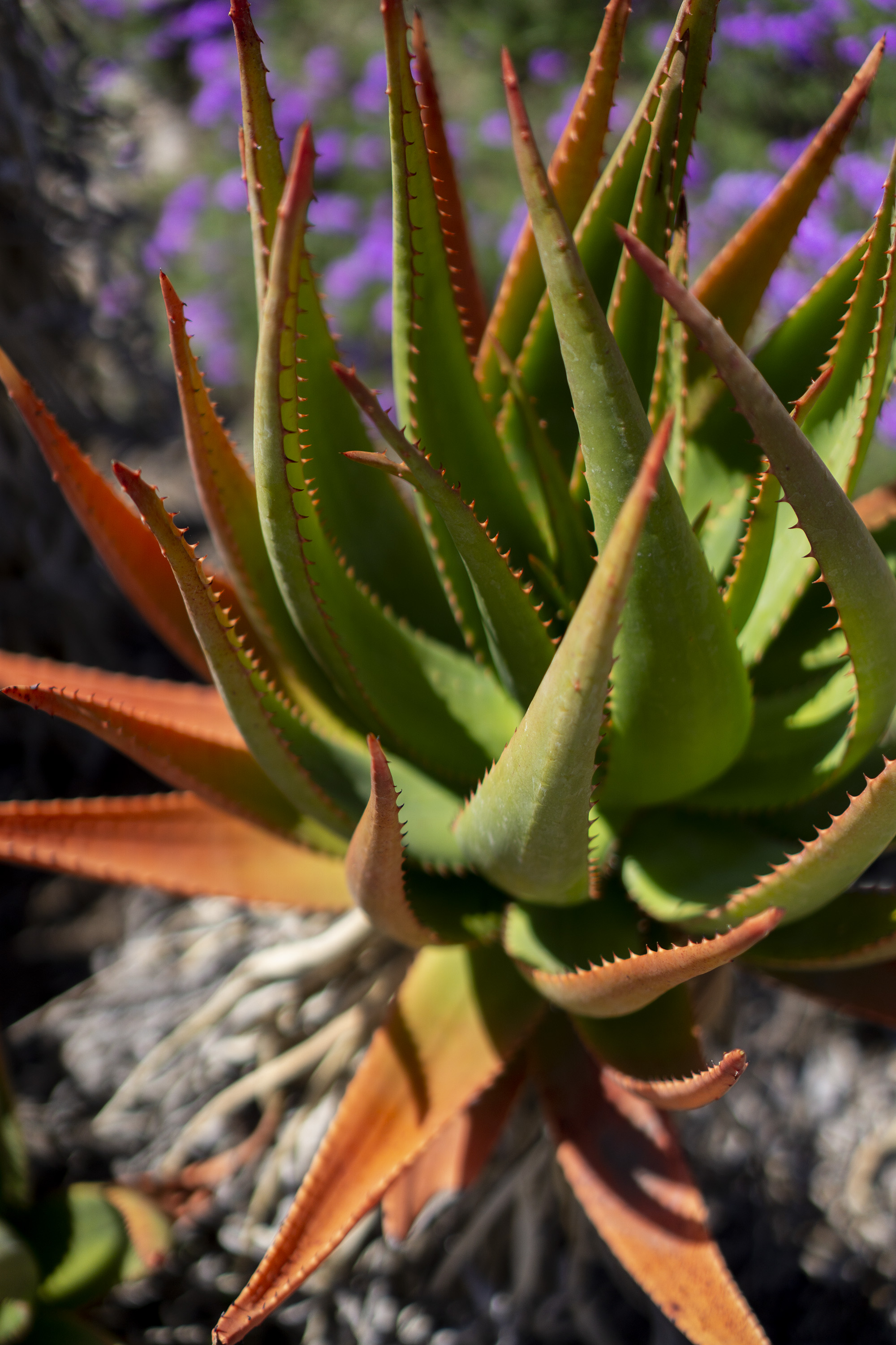 Brightly colored agave closeup, Desert Garden, Huntington Library, San Marino CA / Darker than Green