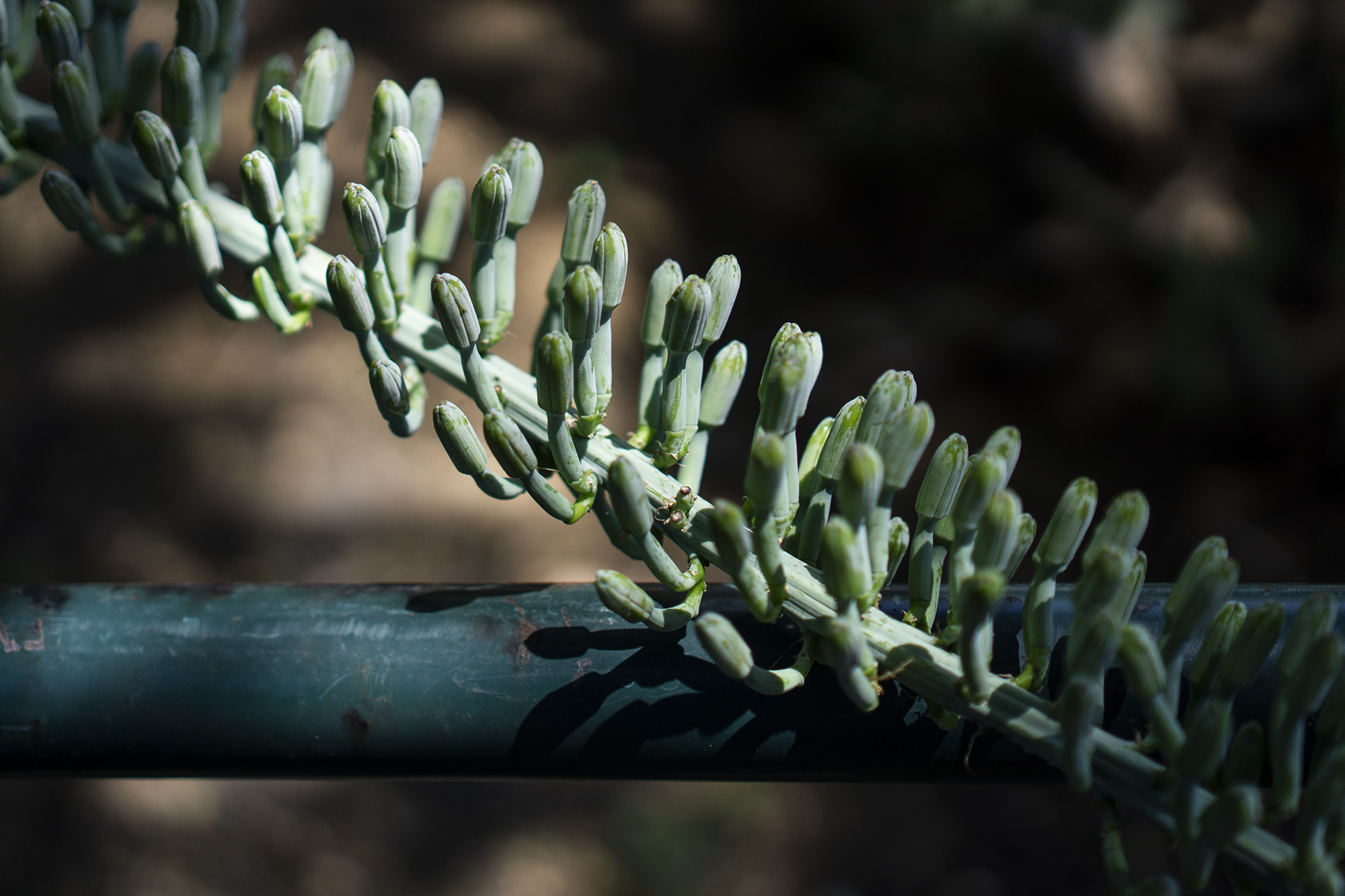 Desert plant resting against shaded fence, Desert Garden, Huntington Library, San Marino CA / Darker than Green