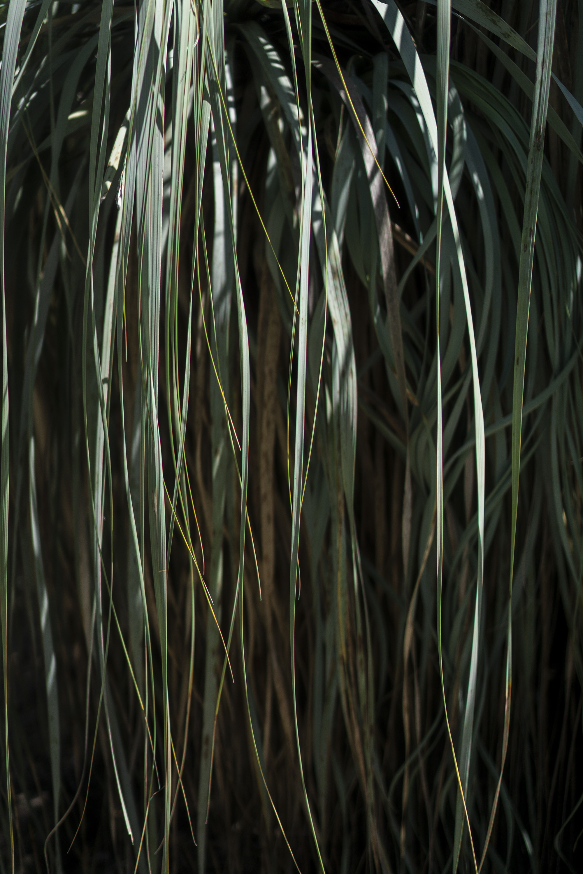 Shaded long leaves, Desert Garden, Huntington Library, San Marino CA / Darker than Green