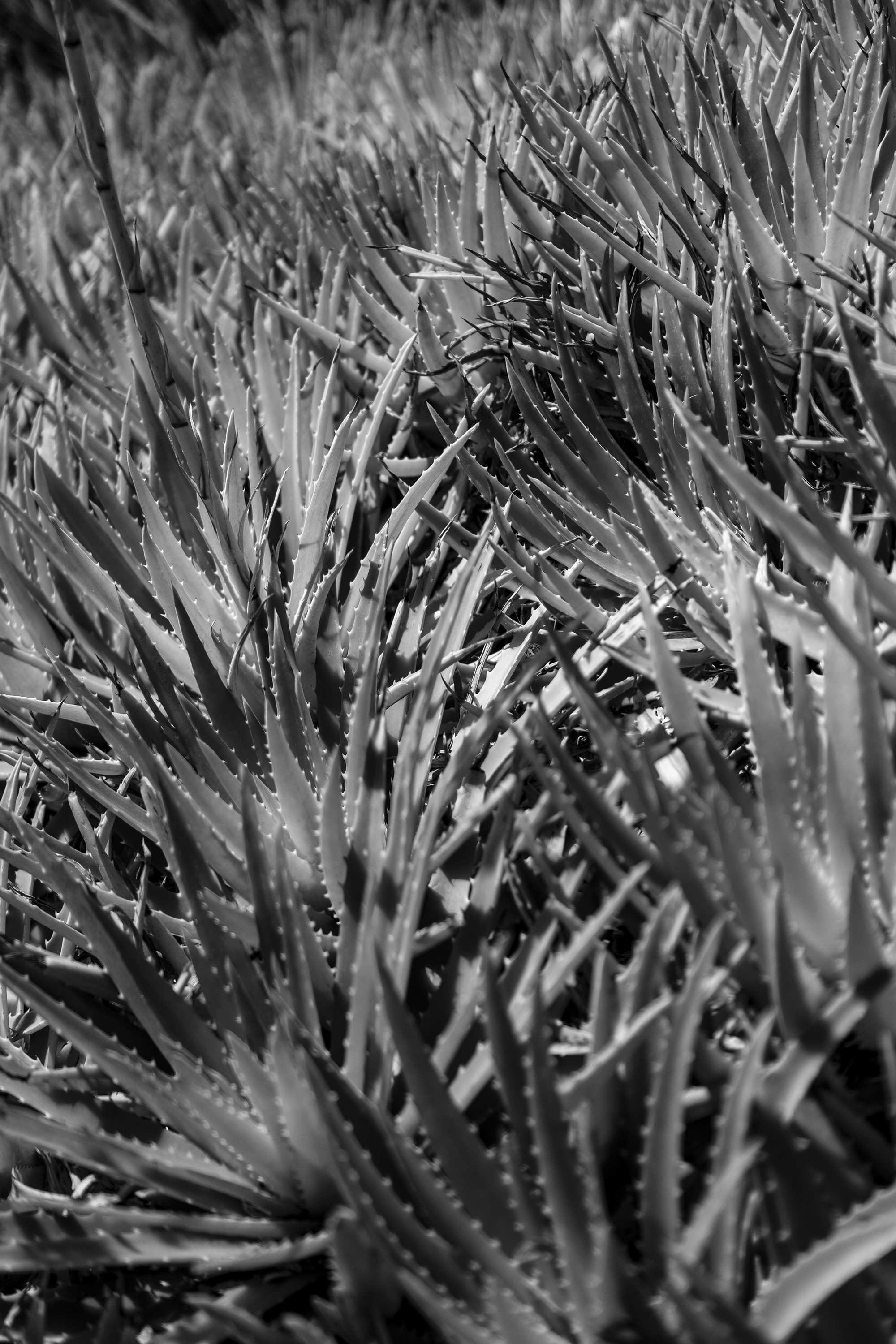 Agaves in black and white, Desert Garden, Huntington Library, San Marino CA / Darker than Green
