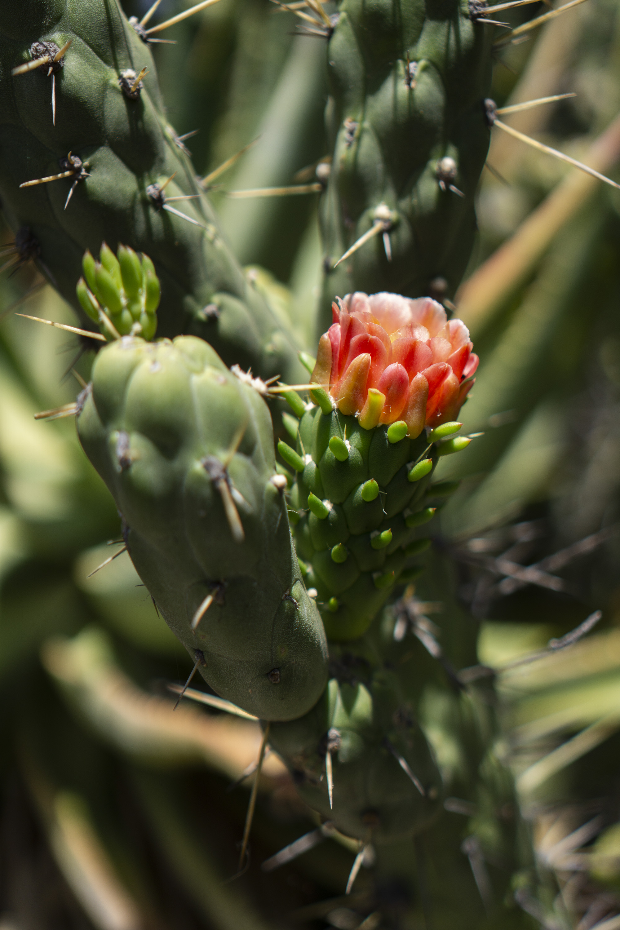 Cactus flower, Desert Garden, Huntington Library, San Marino CA / Darker than Green