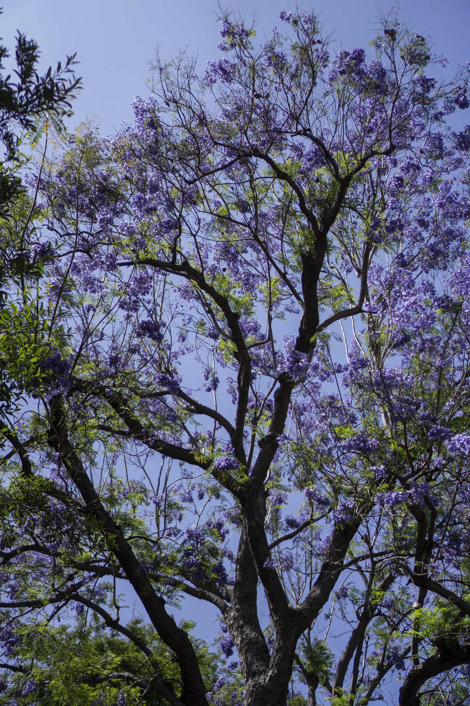 Jacaranda tree in bloom, Desert Garden, Huntington Library, San Marino CA / Darker than Green