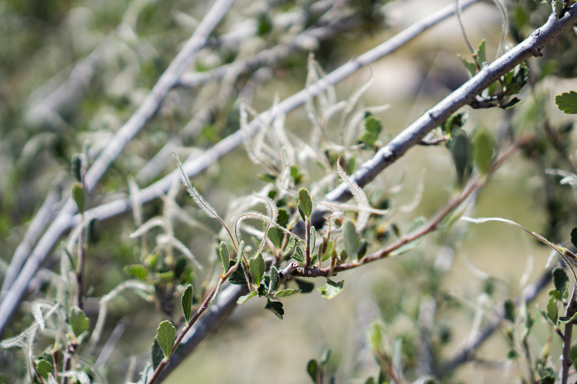 Closeup of mountain mahogany branch, Horsetooth Rock Trail, Colorado / Darker than Green