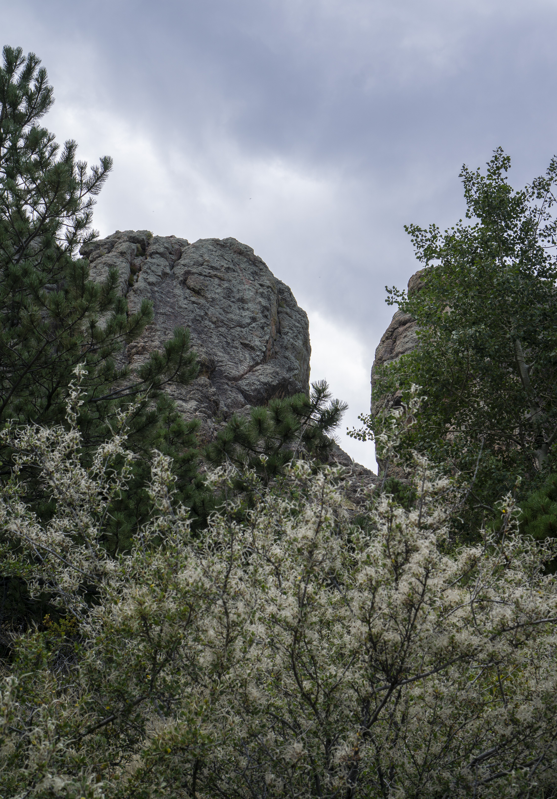 Part of Horsetooth Rock peeking from behind mountain mahogany, Colorado / Darker than Green