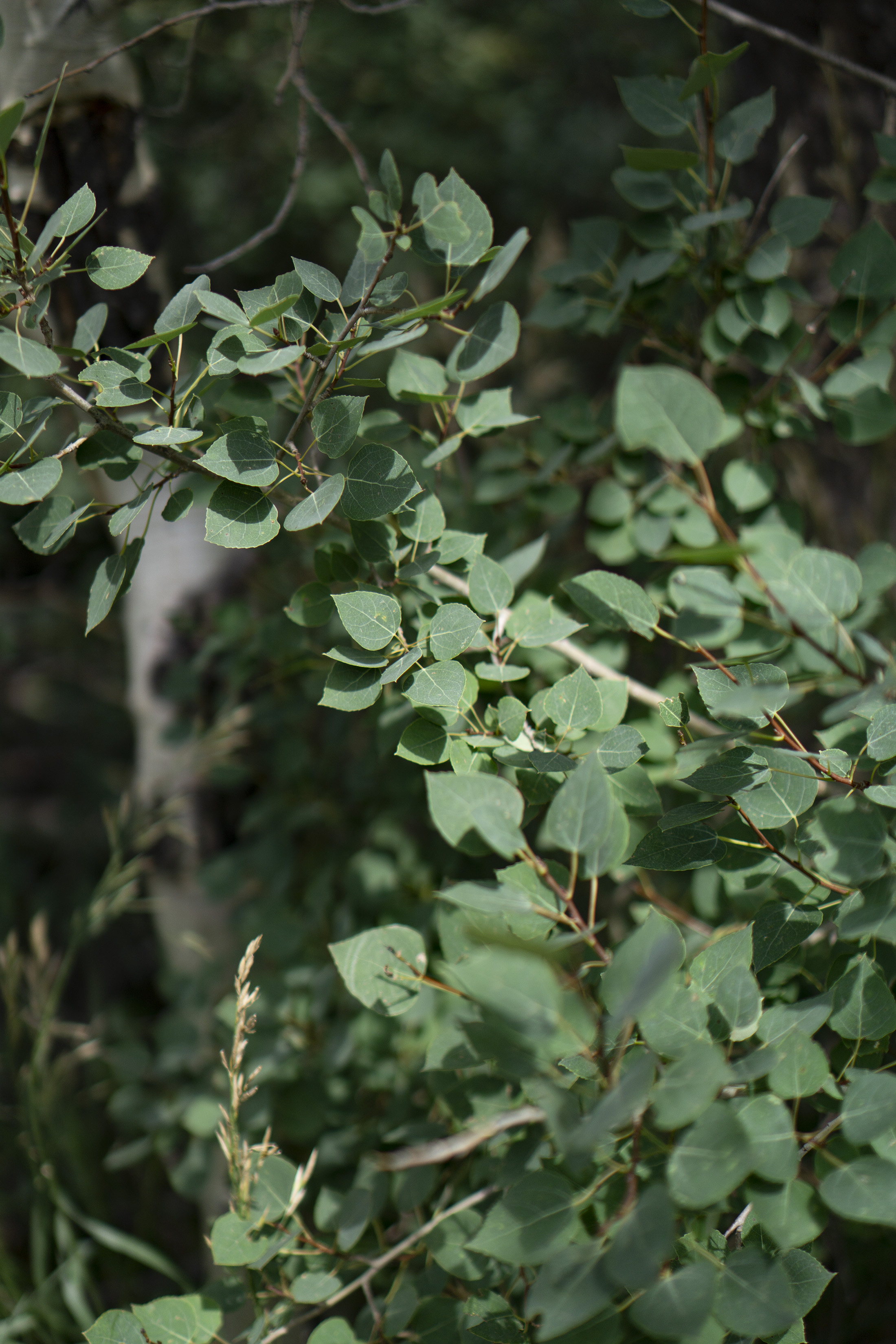 Closeup of Aspen leaves along Horsetooth Rock trail, Colorado / Darker than Green