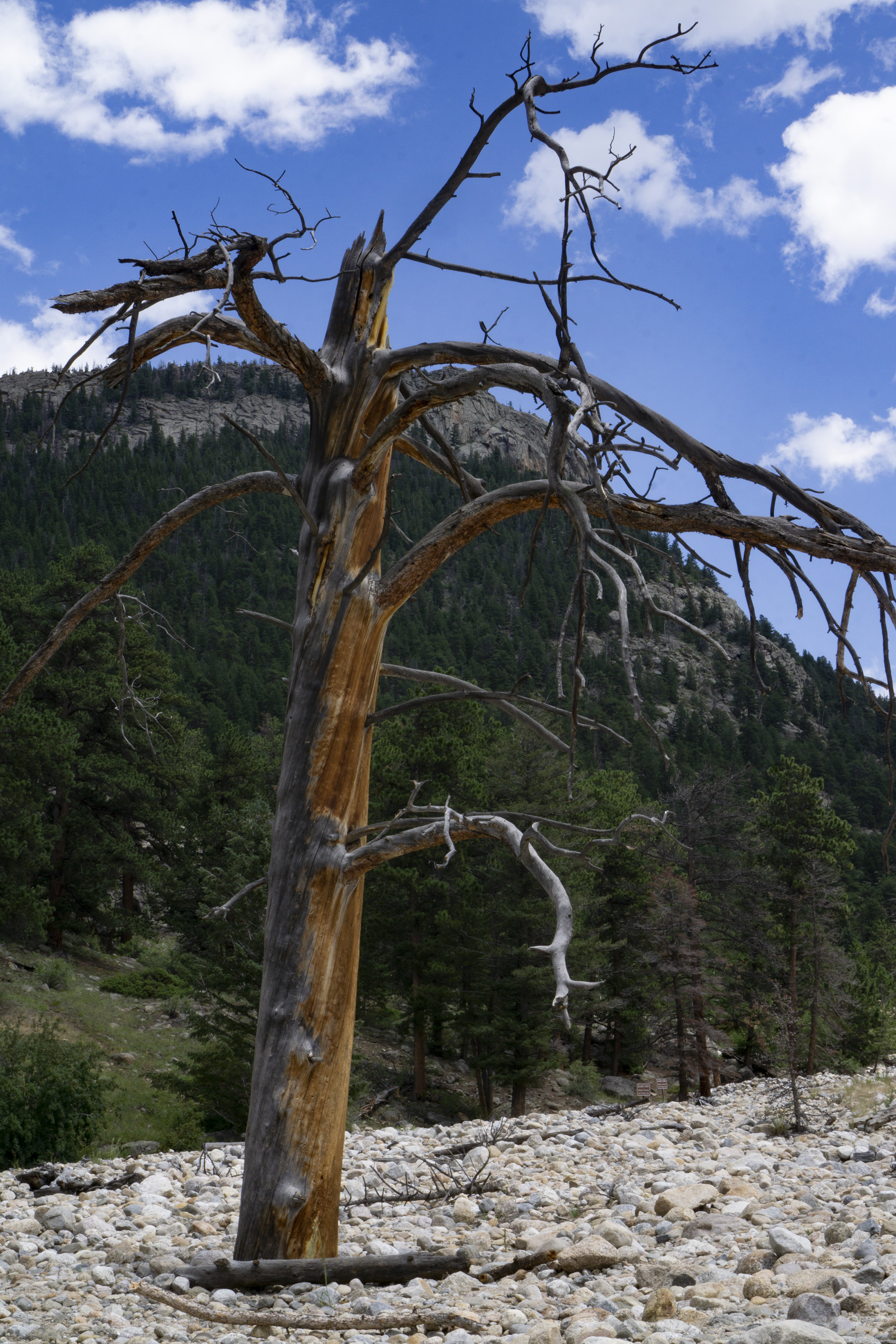 Dead tree near Alluvial Fan, Rocky Mountain National Park / Darker than Green