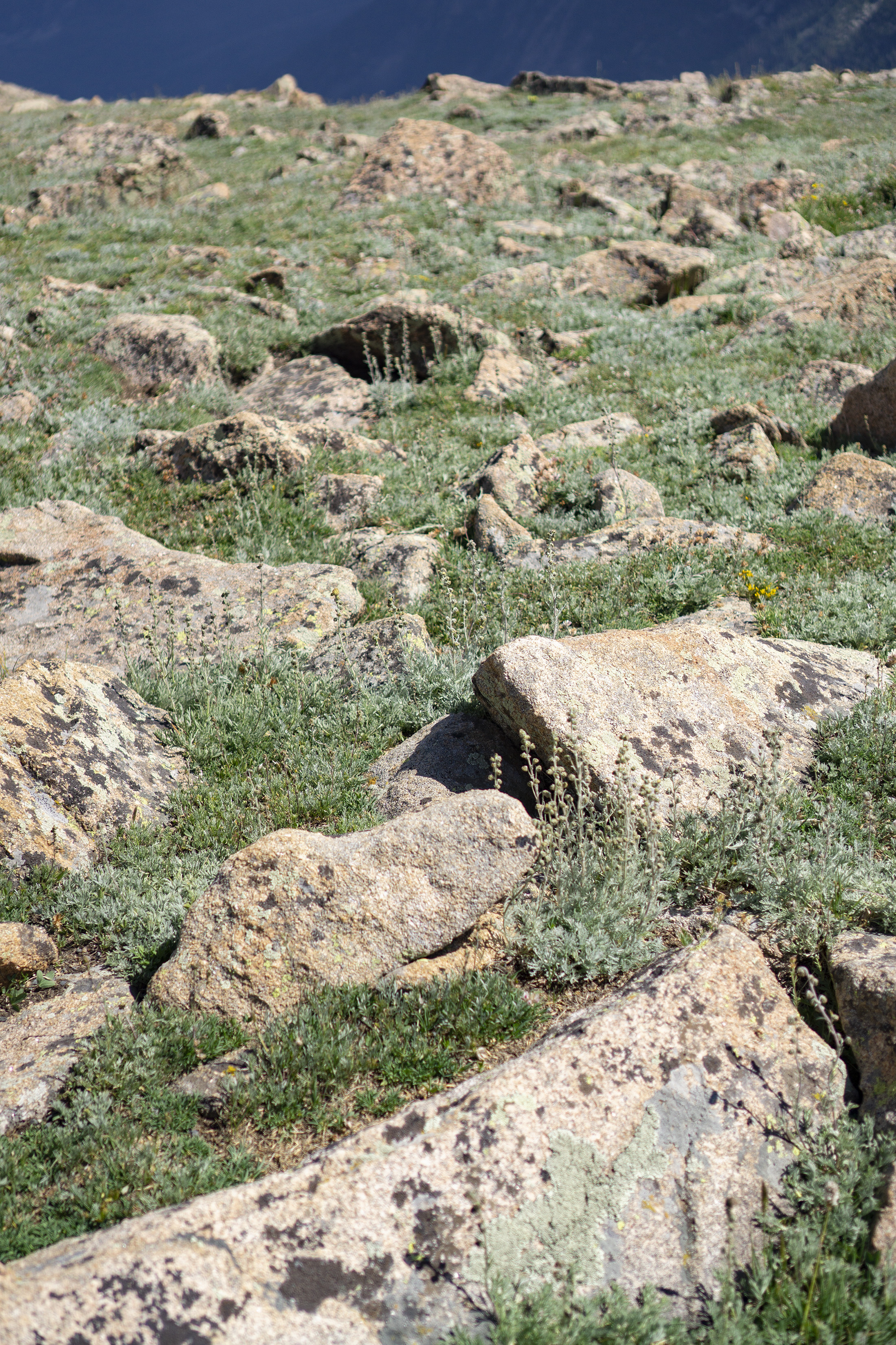 Low growing alpine plants between the rocks in the tundra, Rocky Mountain National Park / Darker than Green